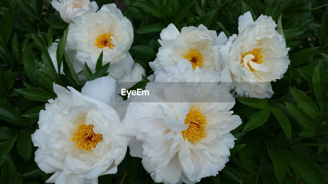 flower, white color, petal, flower head, nature, fragility, close-up, outdoors, beauty in nature, no people, freshness, day