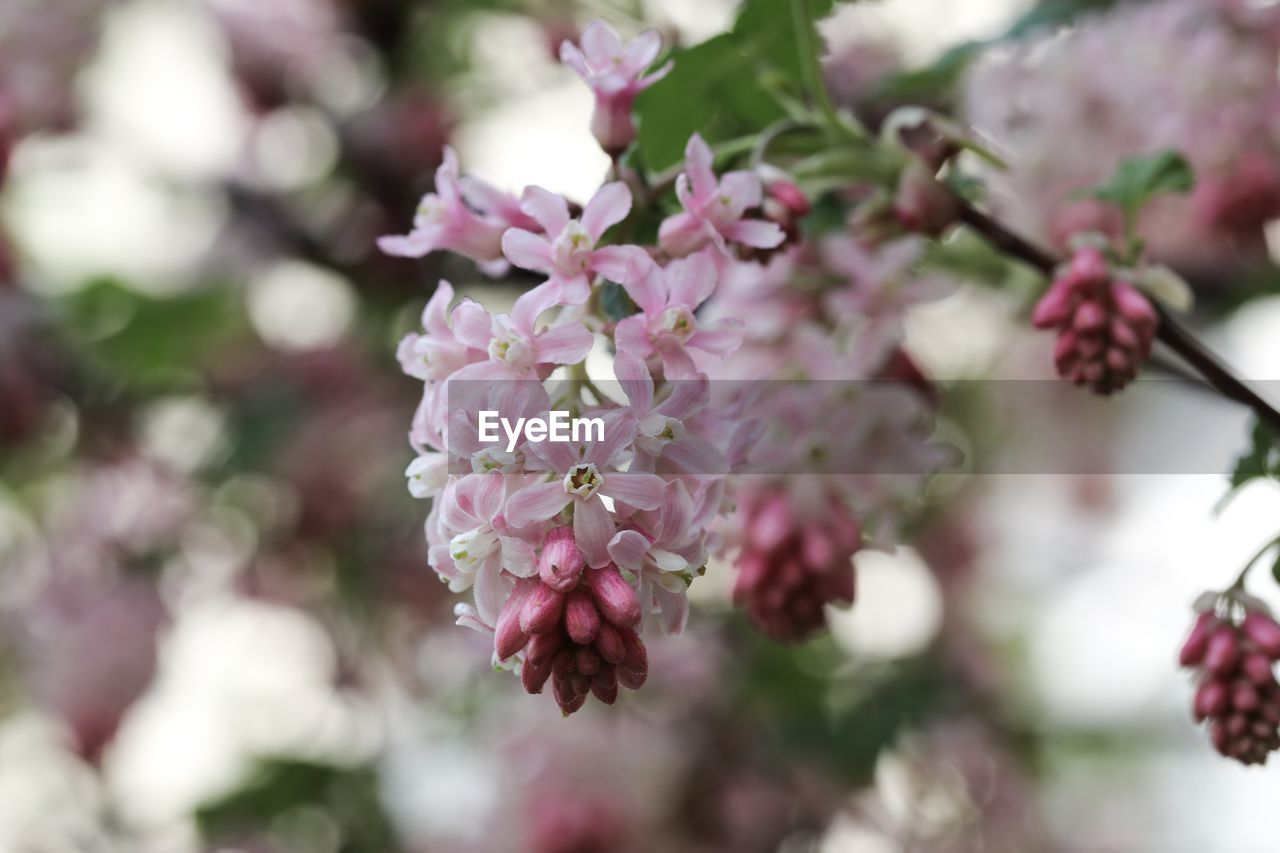 flower, flowering plant, freshness, plant, vulnerability, beauty in nature, fragility, pink color, close-up, growth, petal, nature, day, no people, focus on foreground, selective focus, flower head, inflorescence, botany, outdoors, springtime, lilac, bunch of flowers, cherry blossom