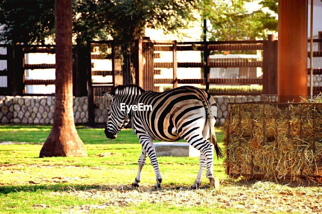 Zebra At Zoo