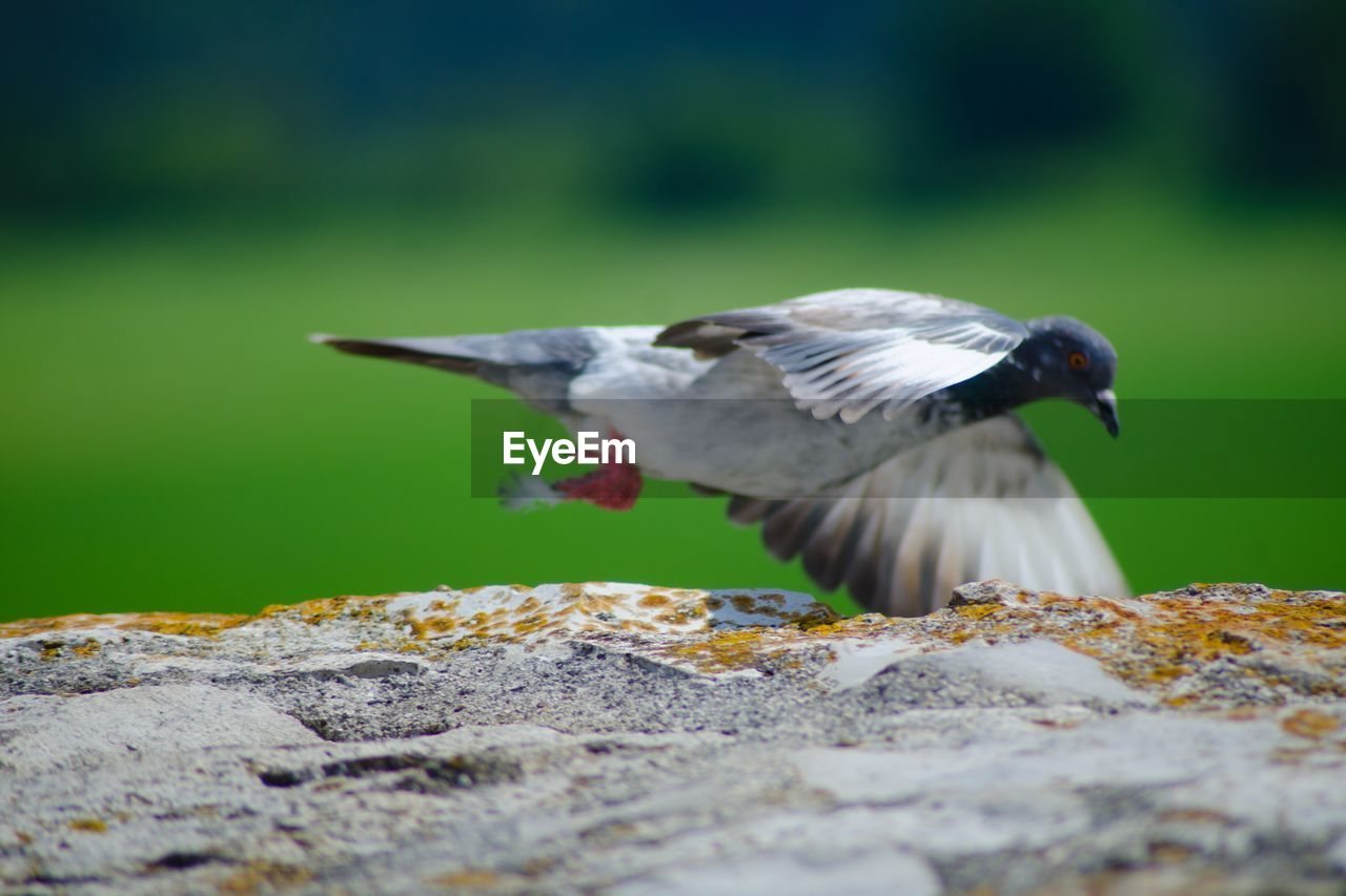 Pigeon Flying By Rock