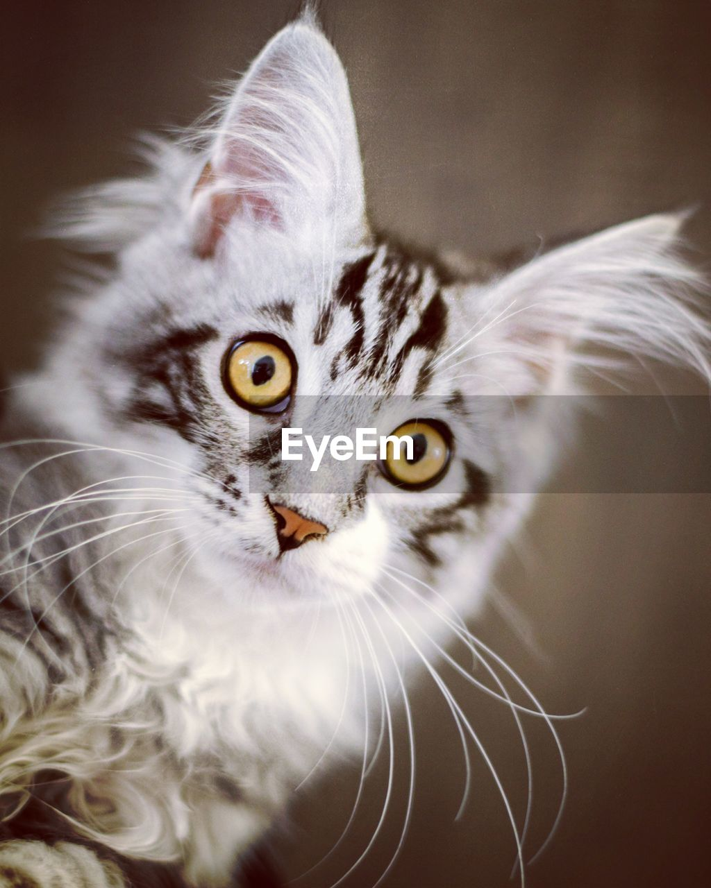 cat, feline, looking at camera, animal themes, animal, domestic cat, portrait, pets, one animal, domestic animals, domestic, mammal, vertebrate, whisker, no people, close-up, indoors, animal body part, selective focus, focus on foreground, animal head, yellow eyes, animal eye
