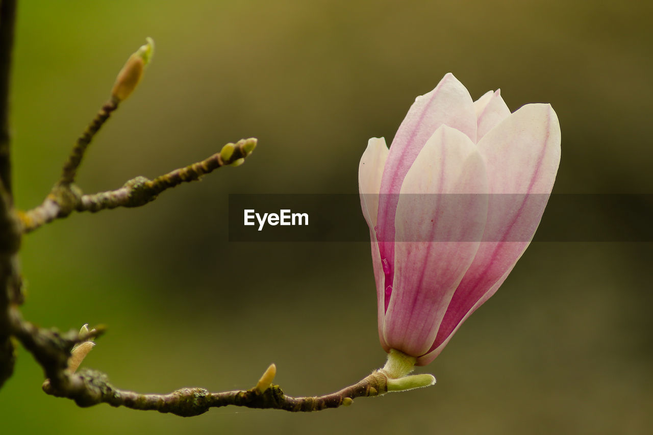 plant, fragility, vulnerability, beauty in nature, flowering plant, flower, growth, pink color, petal, close-up, freshness, focus on foreground, inflorescence, flower head, bud, nature, no people, day, beginnings, new life, outdoors, springtime