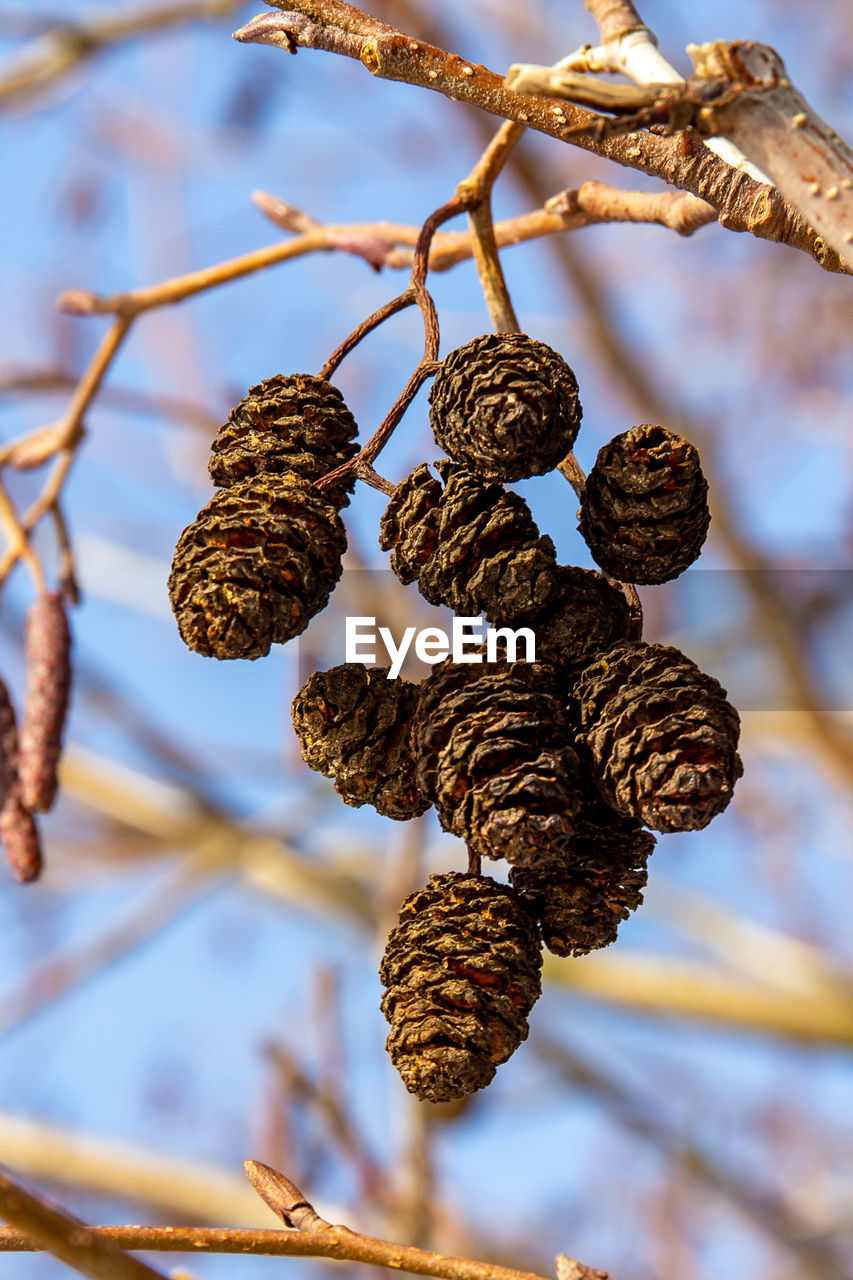 CLOSE-UP OF DRIED PINE CONE ON TREE