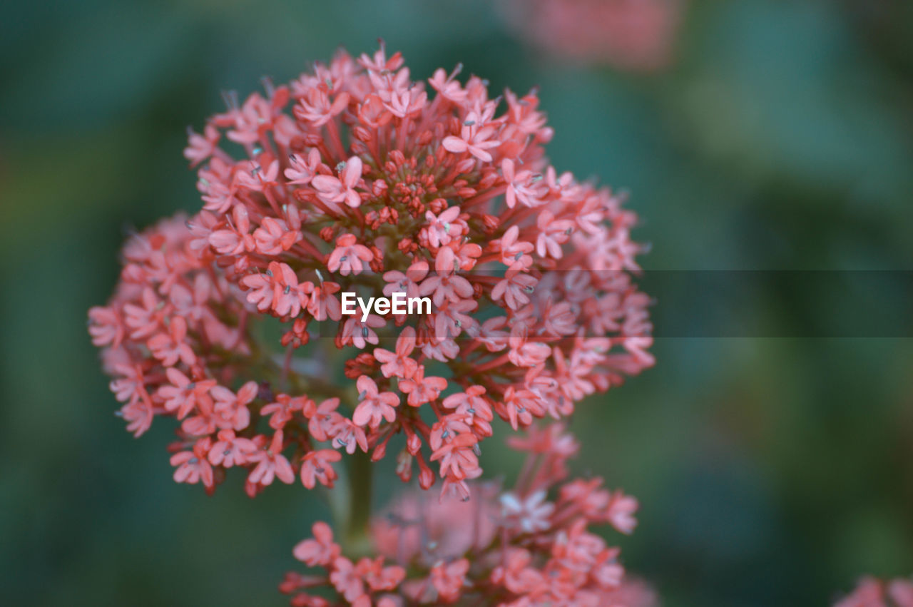 flower, flowering plant, fragility, vulnerability, freshness, plant, beauty in nature, close-up, petal, growth, inflorescence, flower head, focus on foreground, day, nature, selective focus, pink color, no people, outdoors, botany, springtime, bunch of flowers, pollen, lantana, lilac