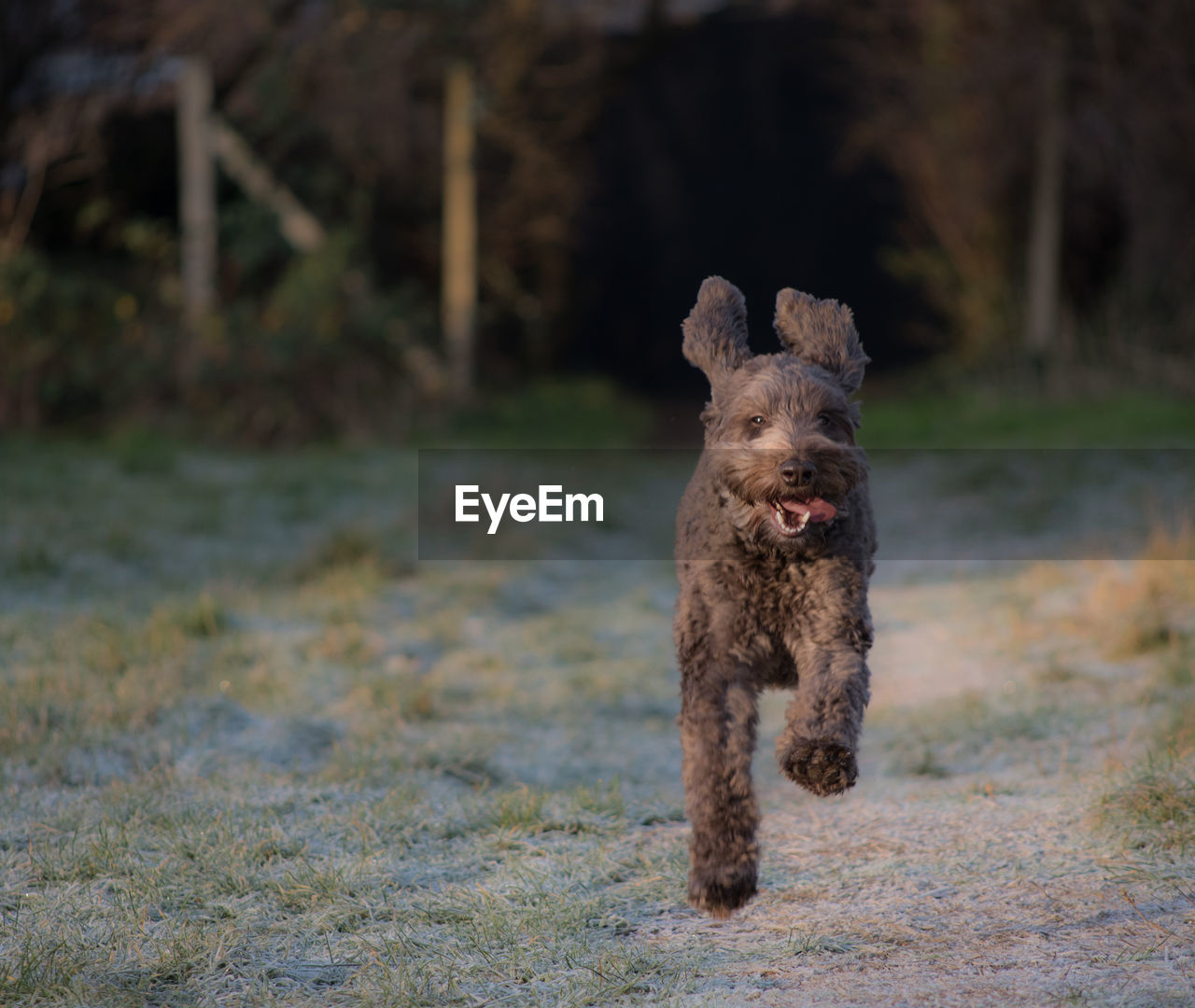 mammal, one animal, animal, domestic, animal themes, pets, dog, canine, domestic animals, vertebrate, running, focus on foreground, field, day, no people, land, nature, full length, motion, outdoors