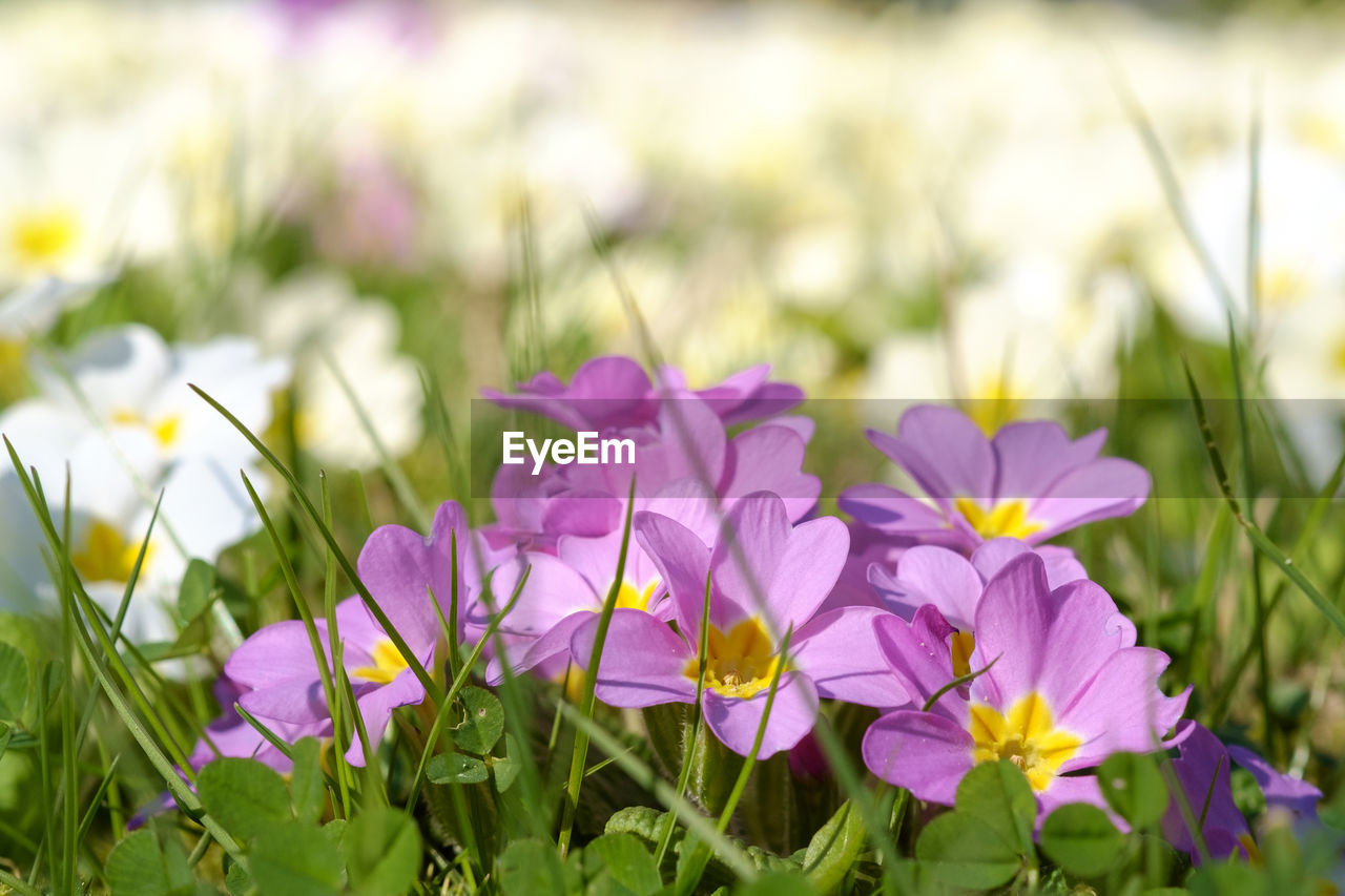 flower, beauty in nature, growth, nature, petal, purple, plant, fragility, freshness, blooming, field, no people, outdoors, flower head, day, crocus, close-up