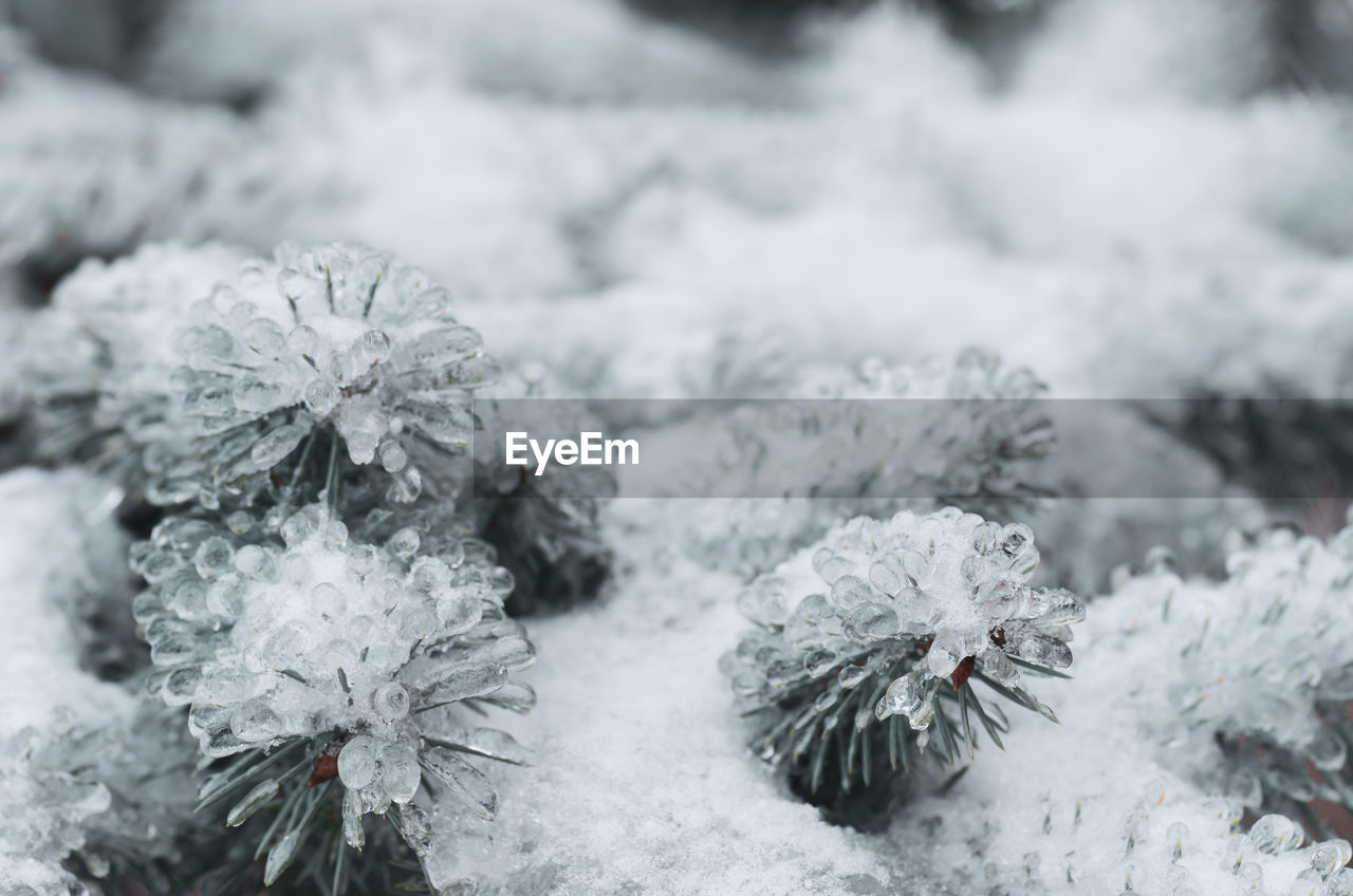 cold temperature, snow, winter, plant, frozen, nature, beauty in nature, white color, flower, flowering plant, close-up, no people, day, focus on foreground, growth, covering, ice, fragility, vulnerability, flower head, outdoors, softness, blizzard
