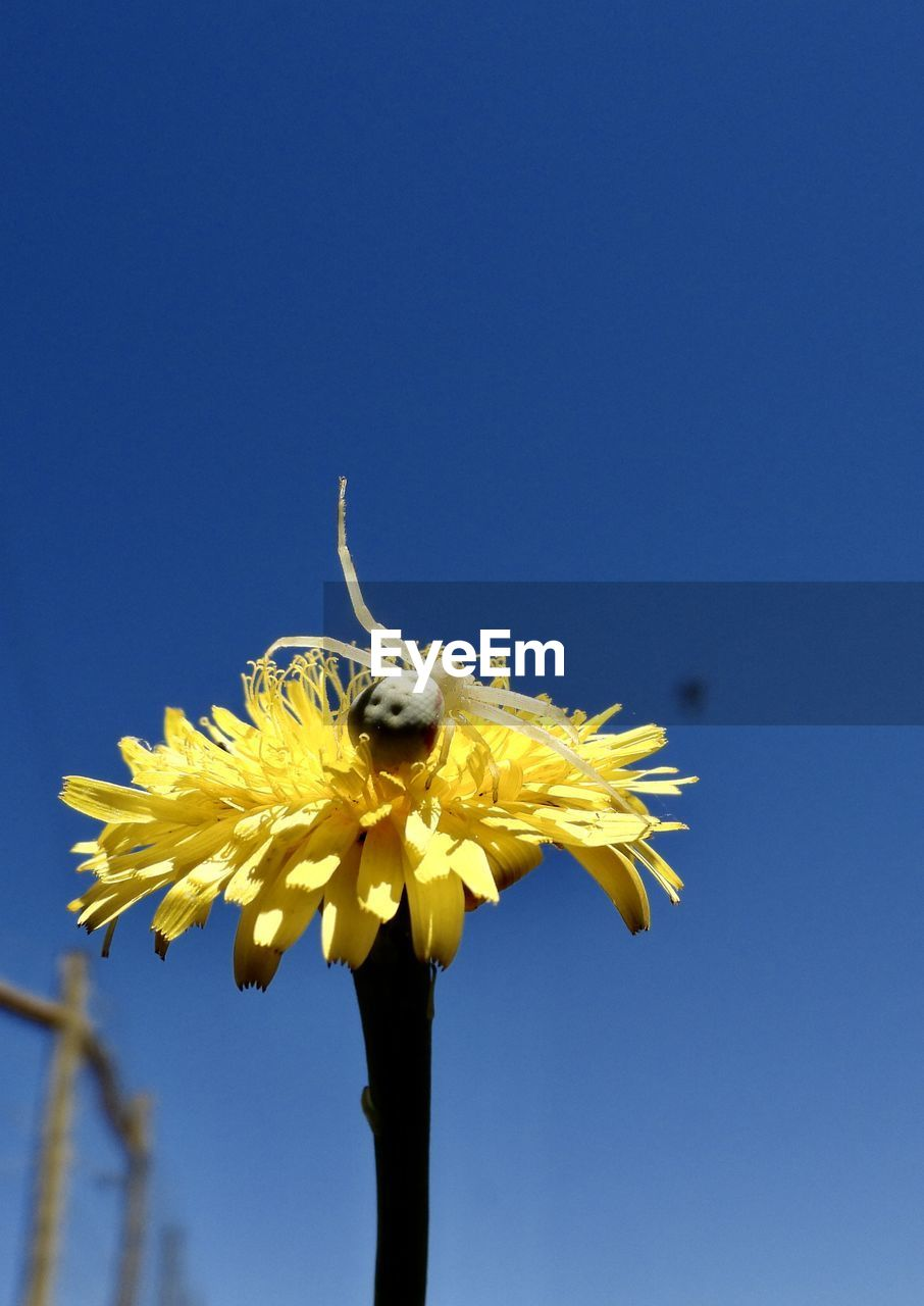 flower, sky, flowering plant, clear sky, fragility, copy space, vulnerability, nature, yellow, plant, petal, flower head, beauty in nature, growth, freshness, one animal, inflorescence, blue, no people, low angle view, sepal