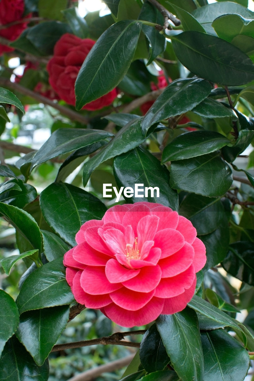 leaf, growth, flower, nature, plant, petal, beauty in nature, green color, day, outdoors, freshness, blooming, red, flower head, no people, focus on foreground, close-up, fragility, pink color