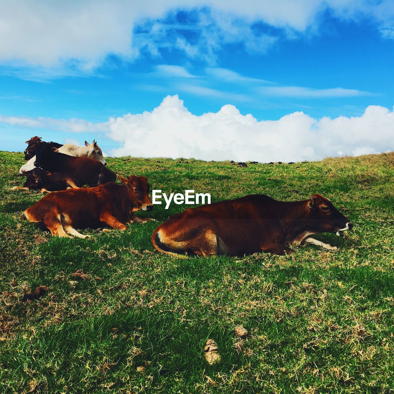 domestic animals, mammal, animal themes, grass, field, sky, cow, cattle, livestock, no people, brown, nature, day, cloud - sky, one animal, outdoors, green color, landscape, farm animal, pets