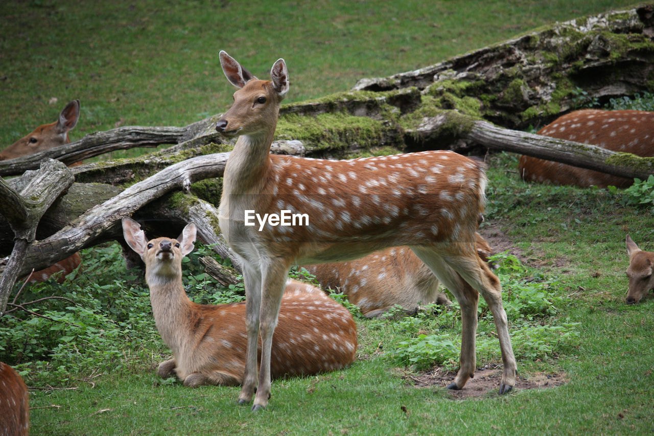animal, animal themes, animal wildlife, mammal, field, deer, land, animals in the wild, vertebrate, group of animals, plant, nature, grass, day, no people, standing, young animal, spotted, herbivorous, fawn, outdoors, herd
