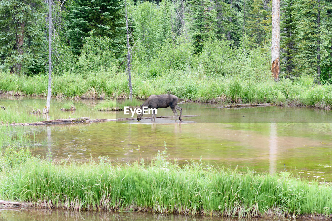 plant, animal themes, animal, tree, water, mammal, one animal, vertebrate, lake, animal wildlife, nature, land, green color, animals in the wild, grass, day, growth, domestic animals, no people, outdoors, herbivorous