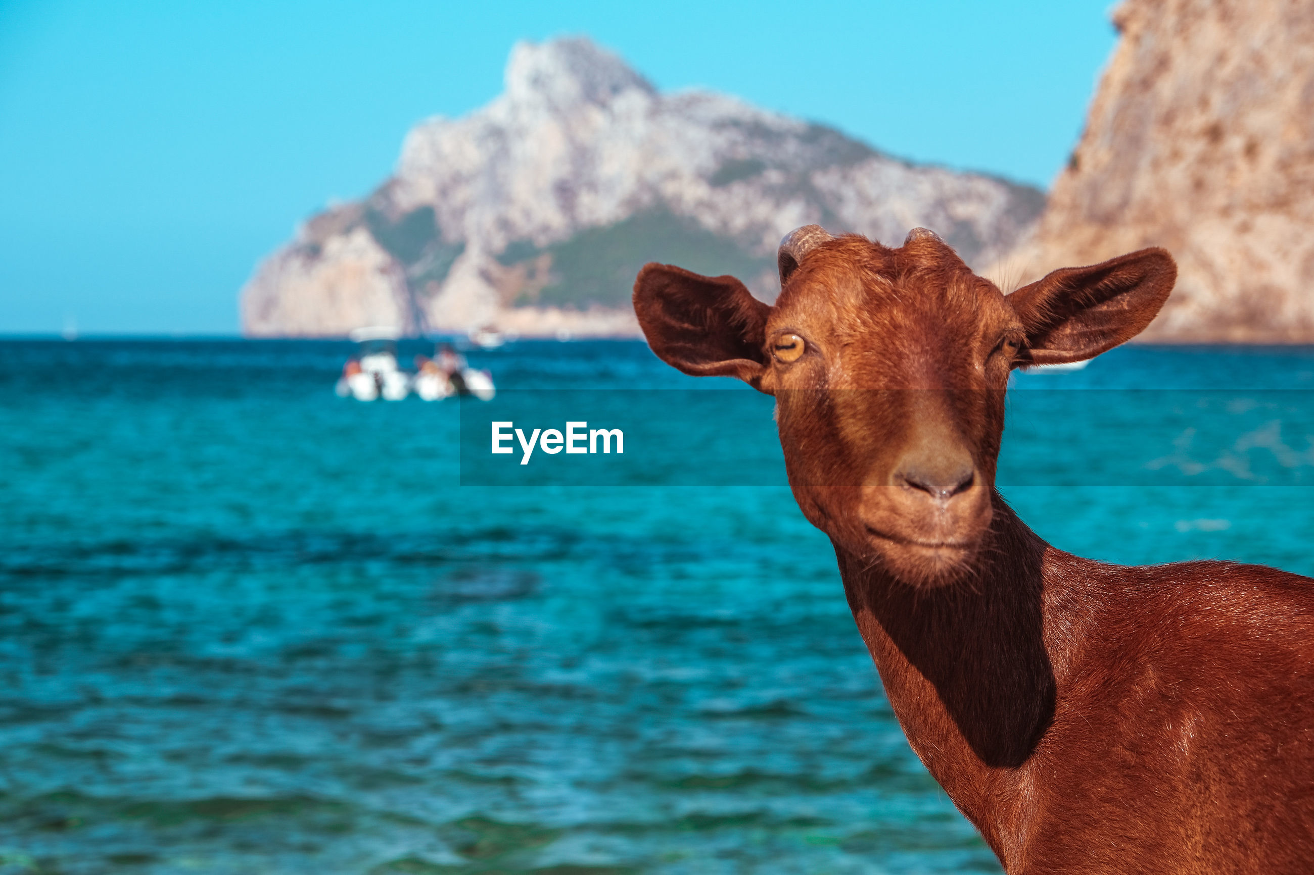 Close-up of a goat in the sea in mallorca