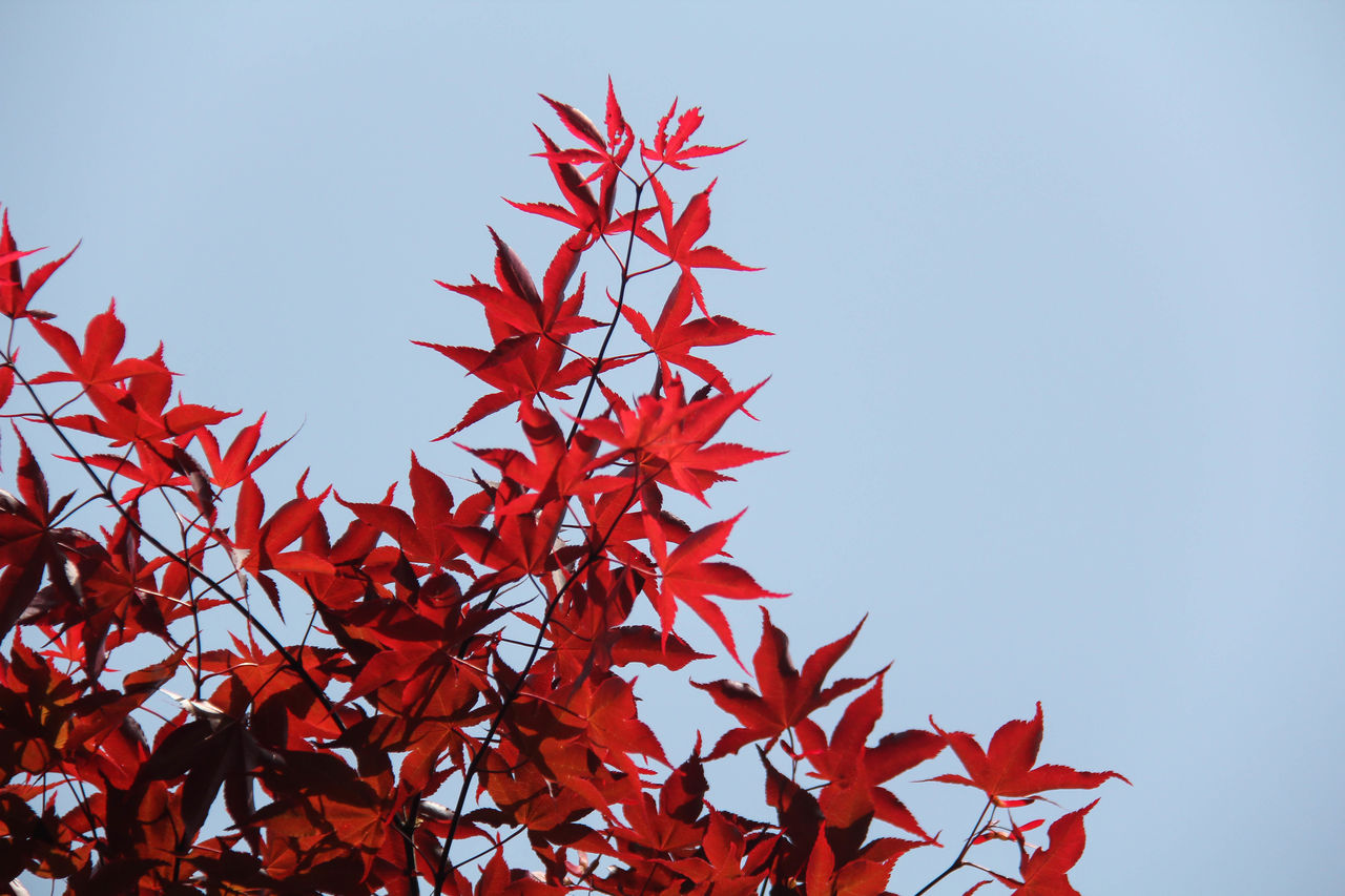 autumn, plant part, red, leaf, change, no people, plant, beauty in nature, nature, day, sky, low angle view, maple leaf, growth, tree, close-up, clear sky, orange color, outdoors, maple tree, leaves, natural condition