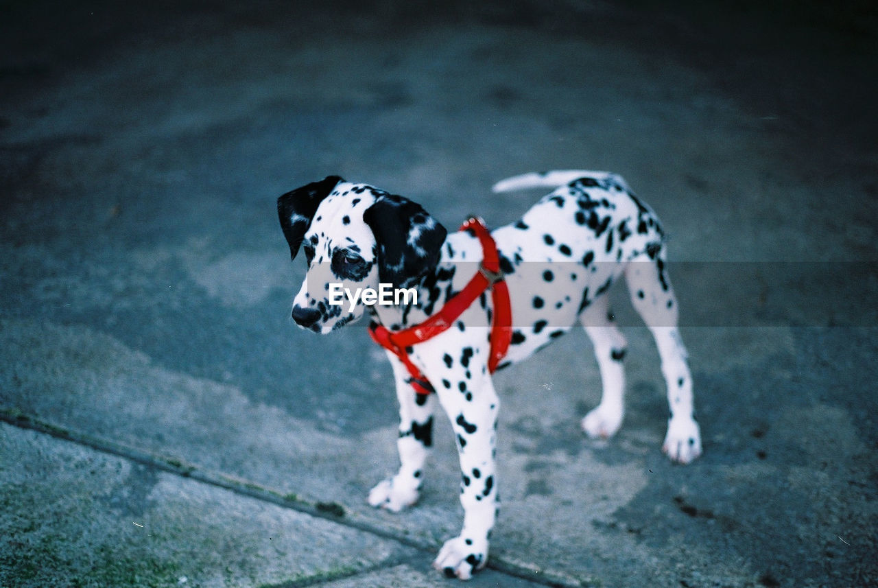 High Angle View Of Dalmatian Puppy Standing On Footpath
