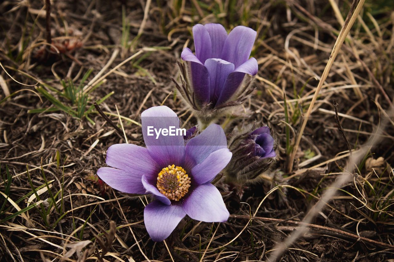 flower, petal, purple, beauty in nature, fragility, flower head, nature, growth, freshness, crocus, blooming, field, plant, no people, day, outdoors, close-up