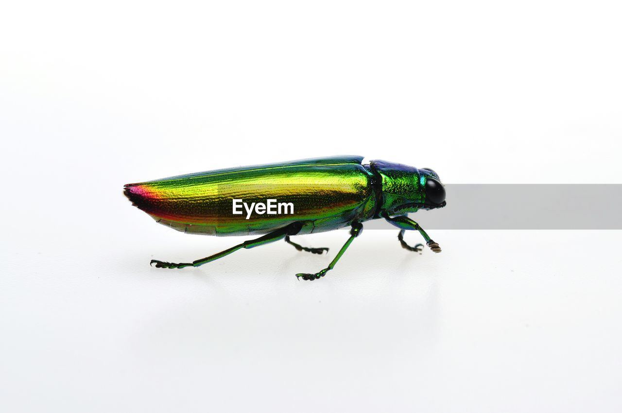 animal themes, studio shot, white background, insect, animal, animal wildlife, copy space, one animal, invertebrate, animals in the wild, close-up, green color, indoors, no people, multi colored, cut out, beetle, side view, zoology, vertebrate