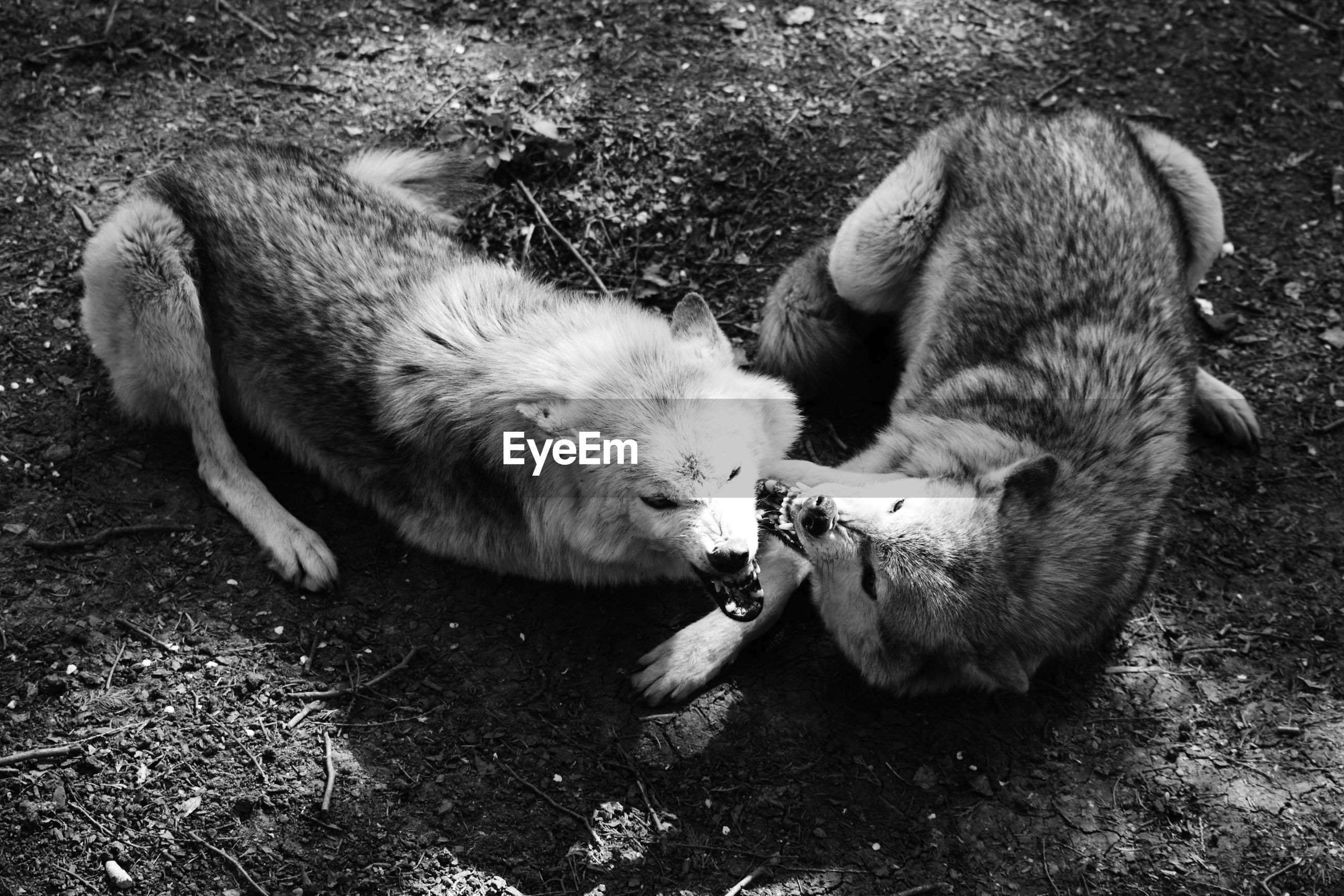 High angle view of two wolves