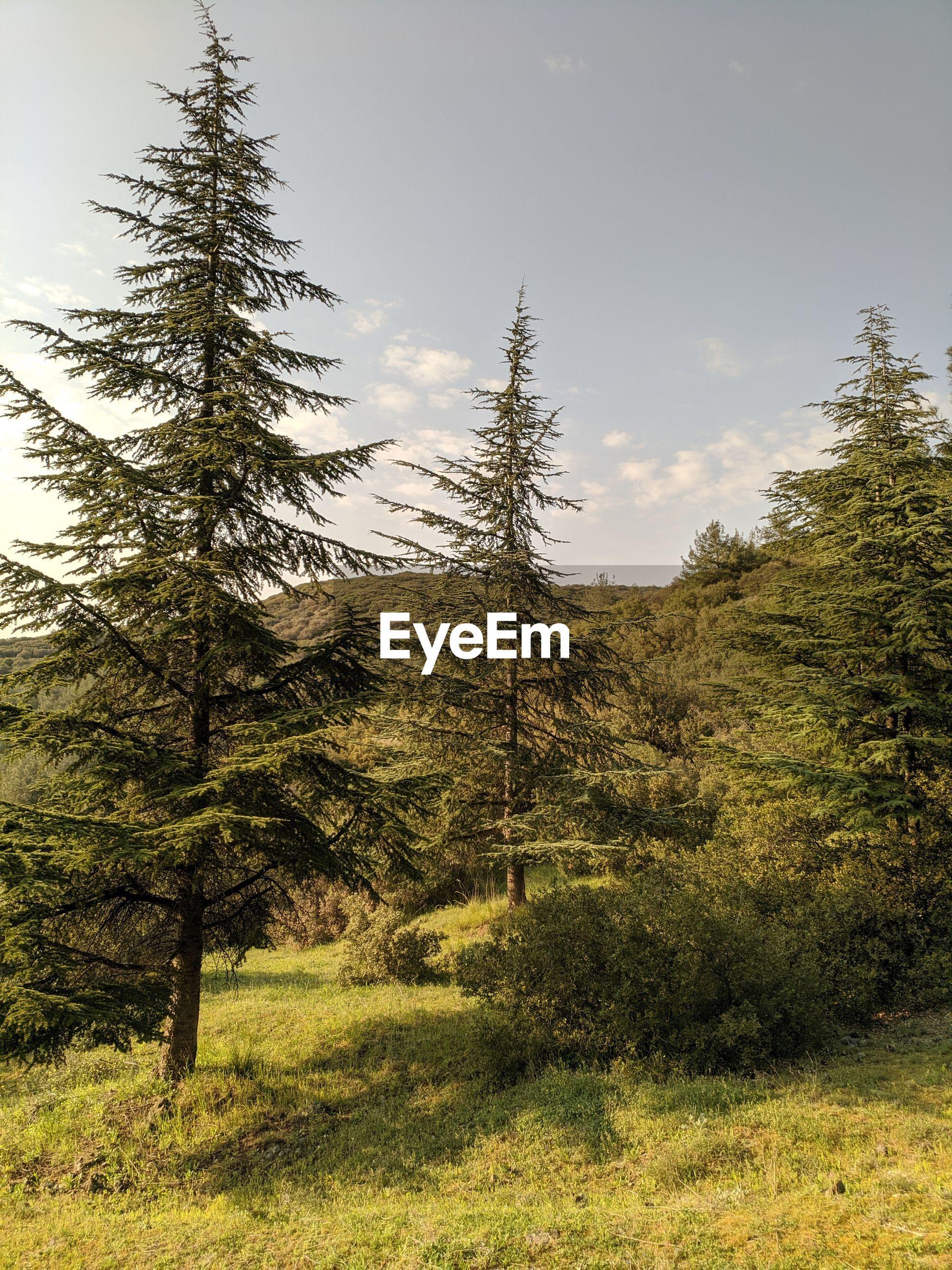 PINE TREES IN FIELD