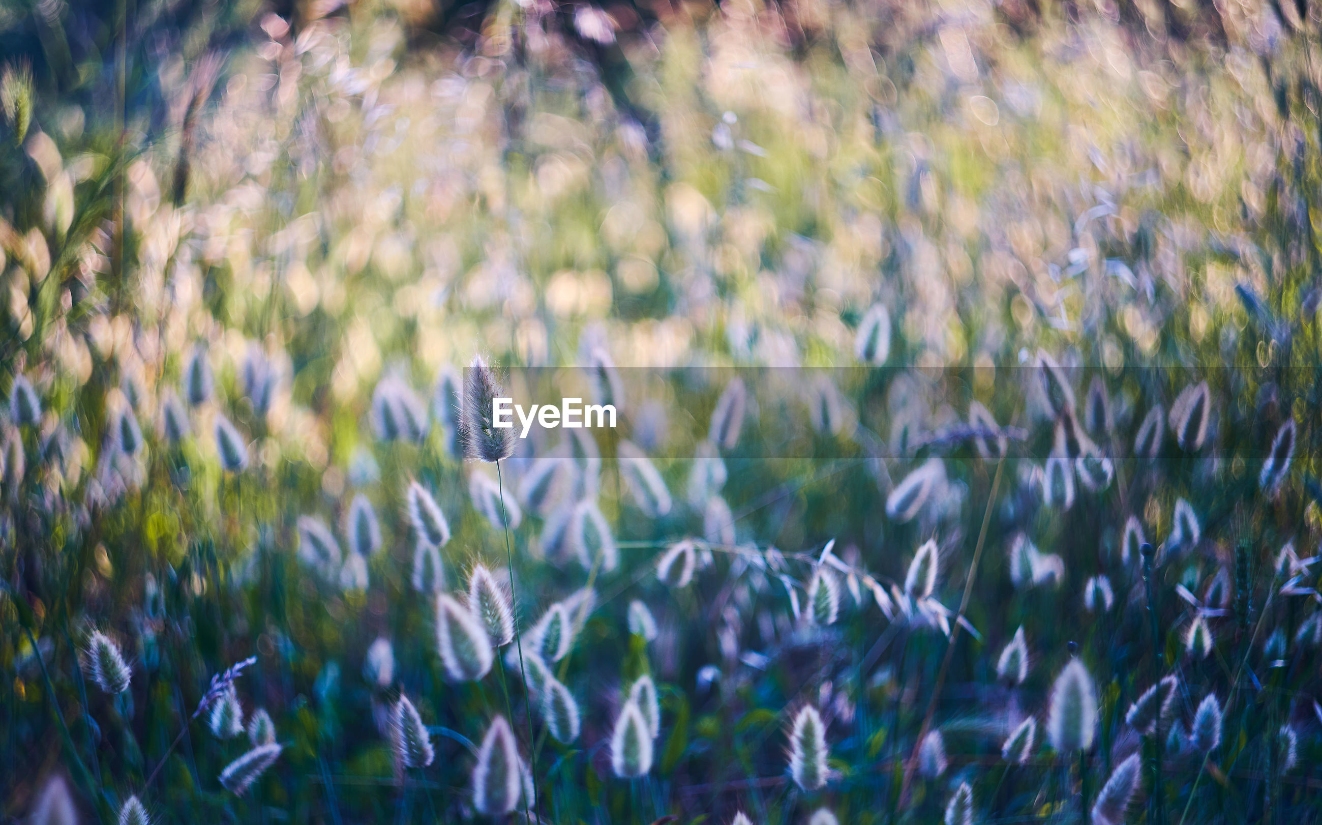 Close-up of fresh purple flowers on field