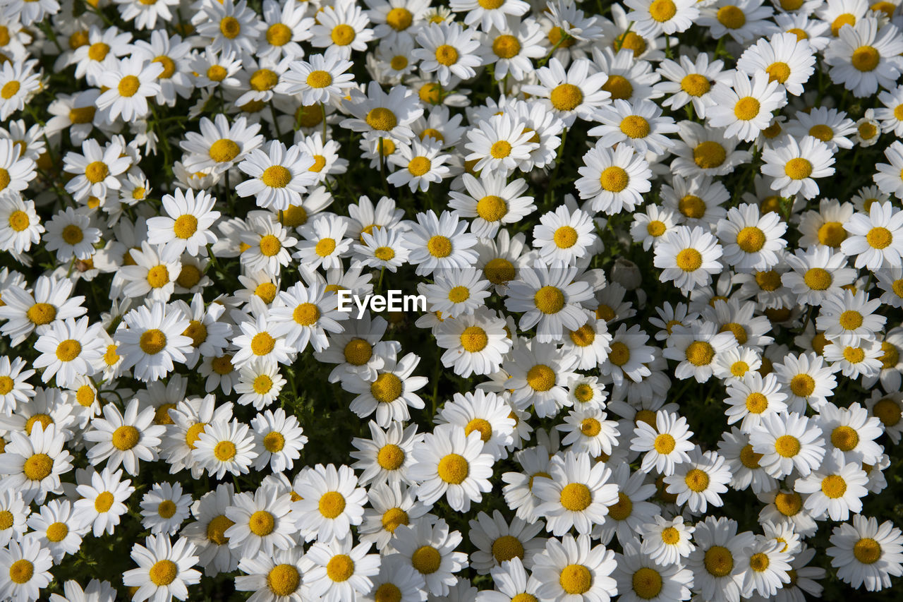 flowering plant, flower, freshness, fragility, vulnerability, beauty in nature, plant, full frame, yellow, growth, petal, inflorescence, flower head, close-up, backgrounds, no people, nature, daisy, abundance, white color, outdoors, pollen, springtime, flowerbed