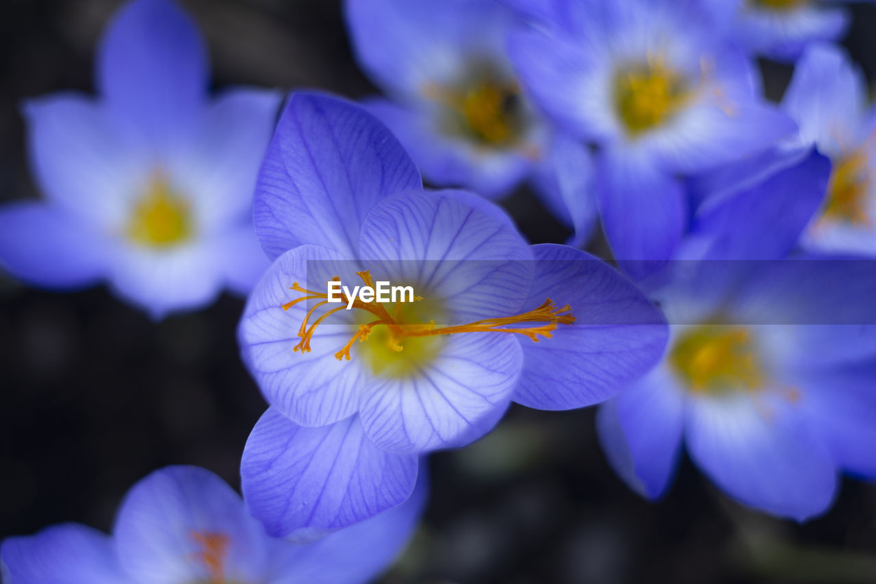 High Angle View Of Blue Crocus Flowers