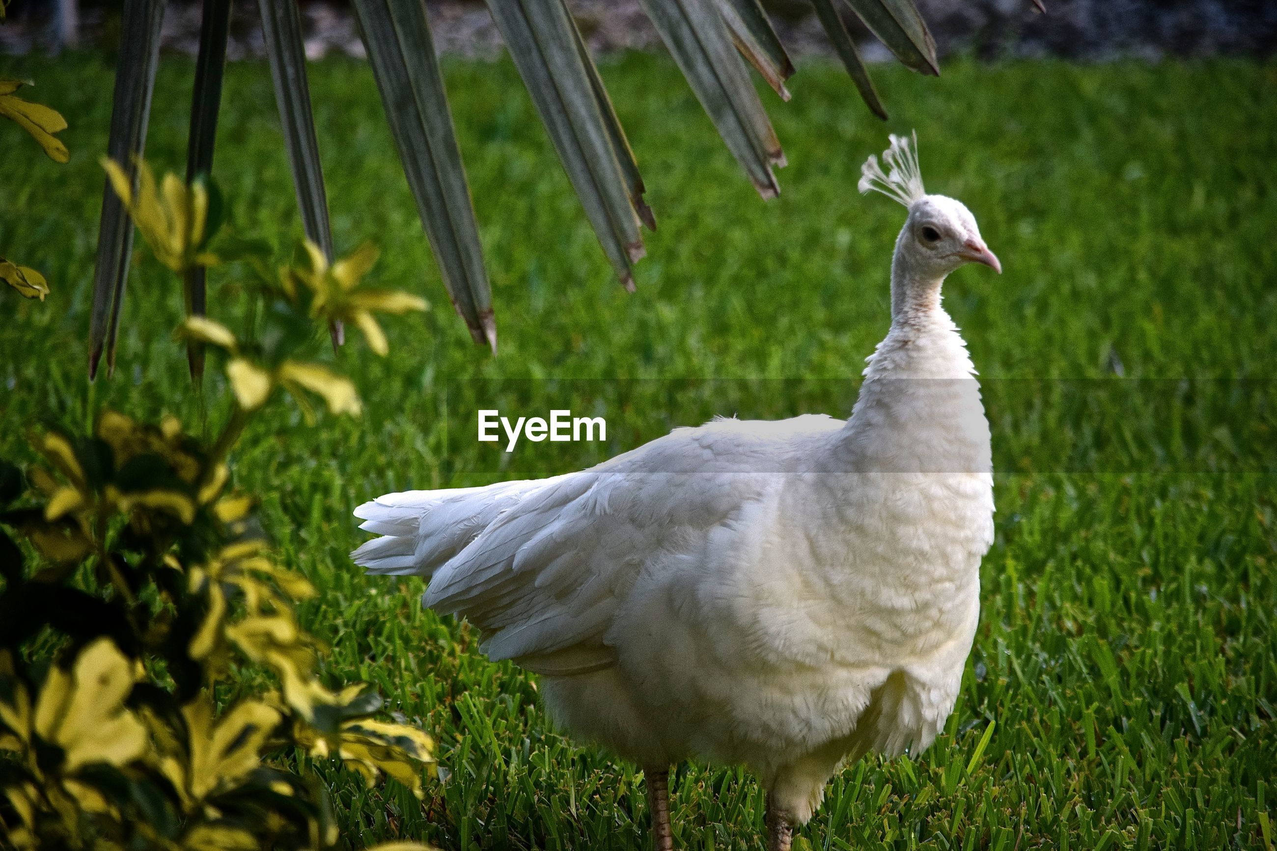 Side view of white peacock walking on grass