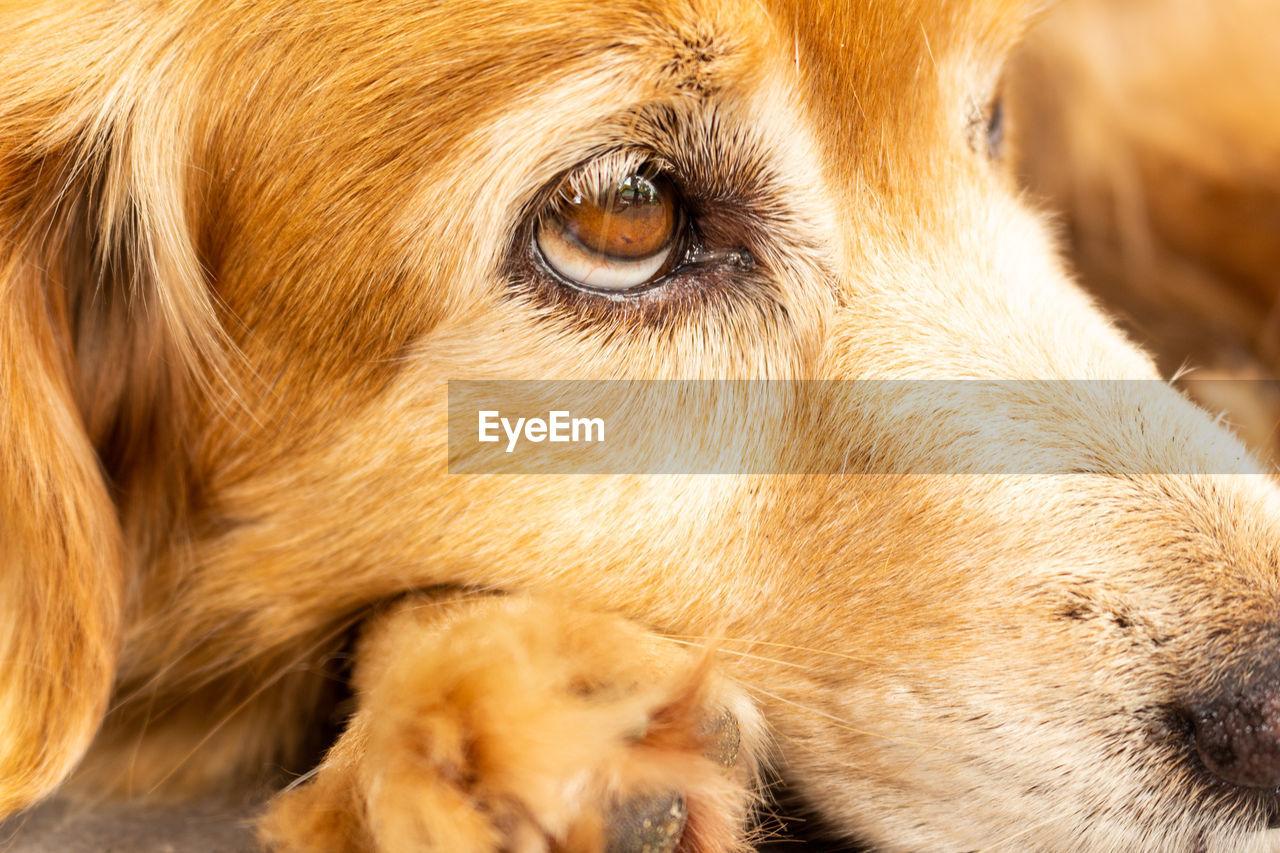 animal themes, mammal, animal, one animal, dog, pets, canine, domestic, domestic animals, close-up, animal body part, no people, golden retriever, animal head, hair, retriever, vertebrate, brown, looking, portrait, animal eye, profile view, whisker, animal nose