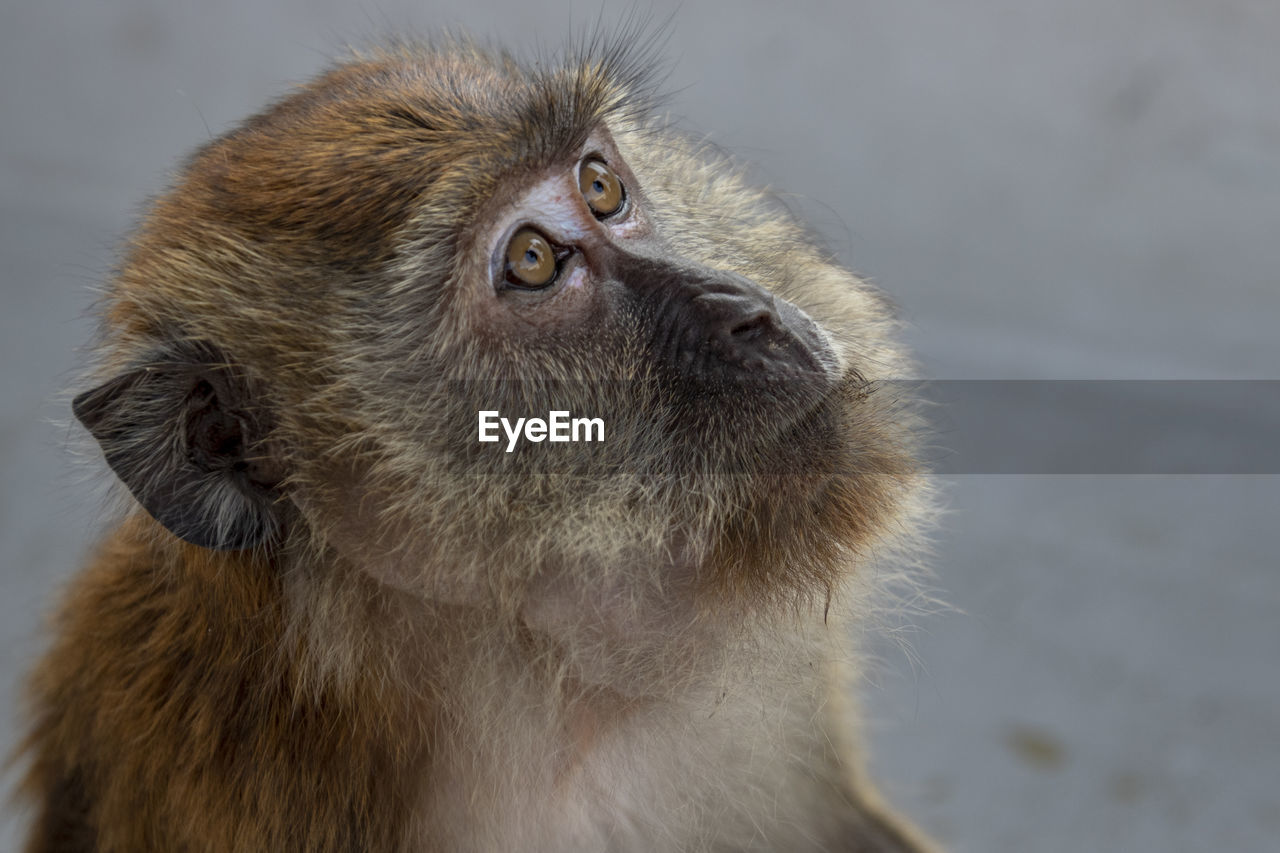 animal themes, animal, mammal, one animal, close-up, looking, focus on foreground, animal wildlife, vertebrate, no people, primate, monkey, looking up, animals in the wild, animal body part, looking away, domestic, animal head, pets, day, whisker, animal eye