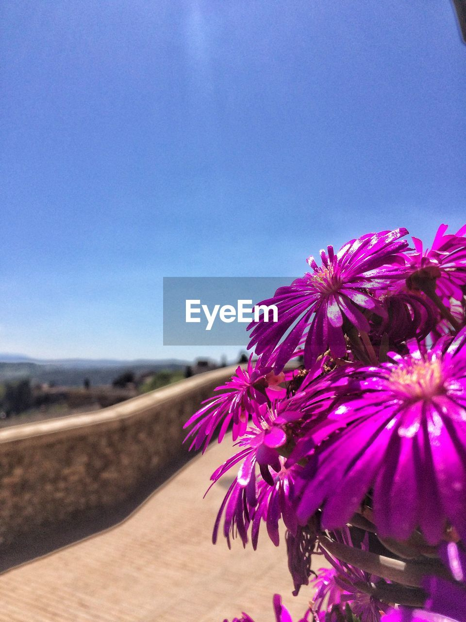 flower, nature, beauty in nature, fragility, growth, freshness, clear sky, day, no people, close-up, petal, outdoors, flower head, plant, sky