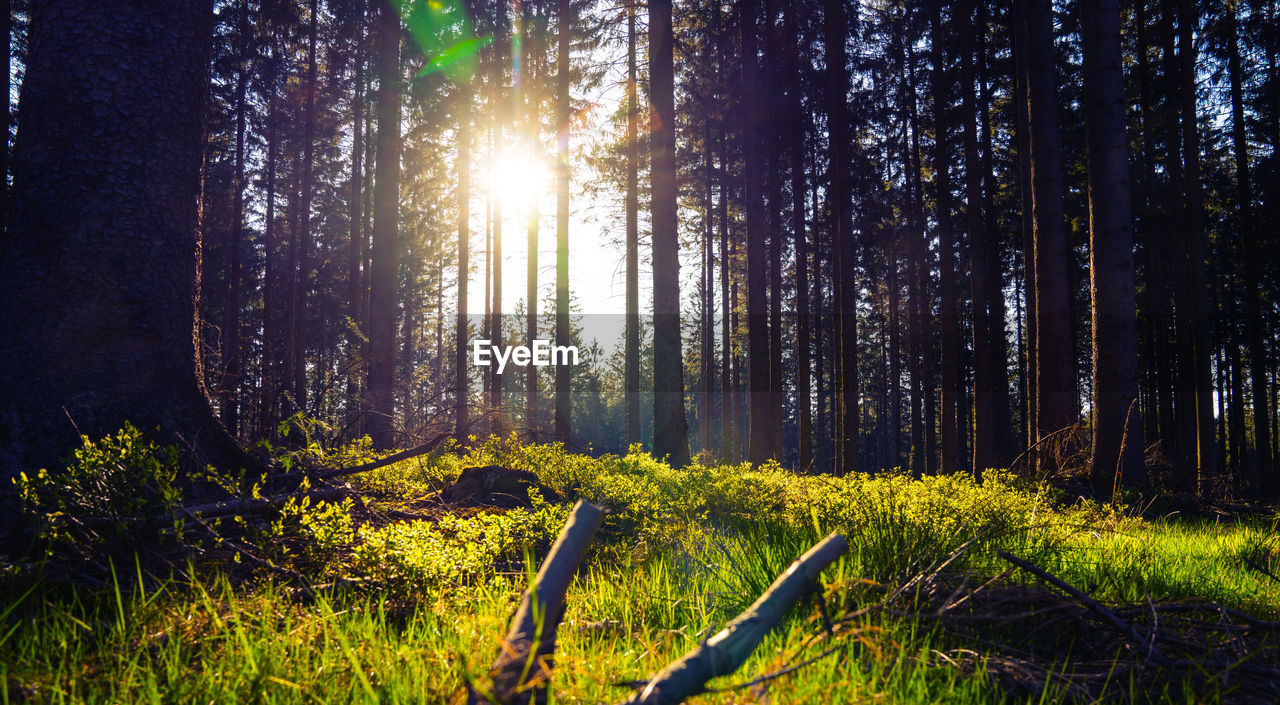 plant, tree, land, forest, tranquility, growth, beauty in nature, tree trunk, trunk, tranquil scene, sunlight, nature, woodland, scenics - nature, day, no people, non-urban scene, environment, landscape, lens flare, outdoors, streaming