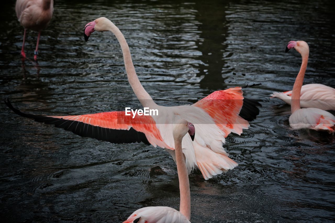 bird, water, animal themes, animal, lake, animals in the wild, vertebrate, flamingo, animal wildlife, group of animals, nature, day, pink color, animal neck, animal body part, human body part, orange color, three animals, human hand, beak, hand, outdoors, drinking