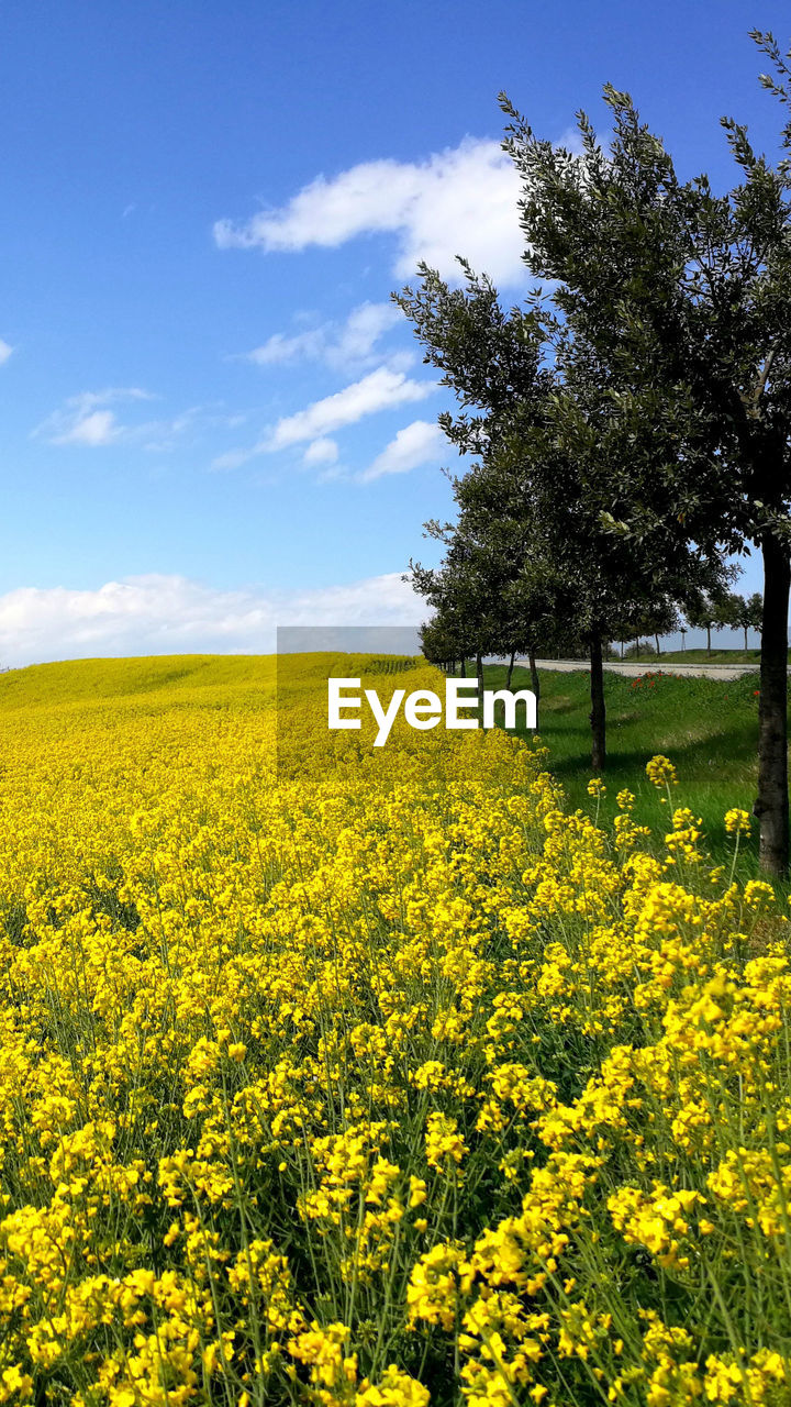 yellow, beauty in nature, plant, flower, sky, field, growth, landscape, agriculture, land, flowering plant, tranquil scene, oilseed rape, scenics - nature, tranquility, rural scene, nature, environment, freshness, farm, no people, springtime, outdoors, spring