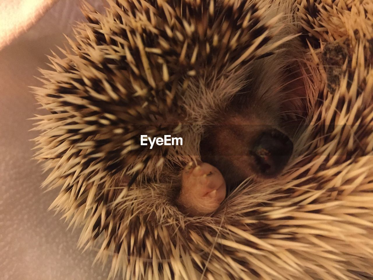 hedgehog, mammal, animal themes, close-up, one animal, sleeping, no people, animals in the wild, indoors, nature, day