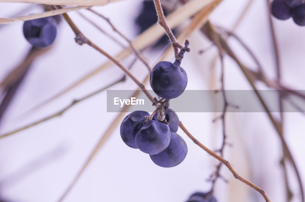 Close-up of grapes hanging outdoors
