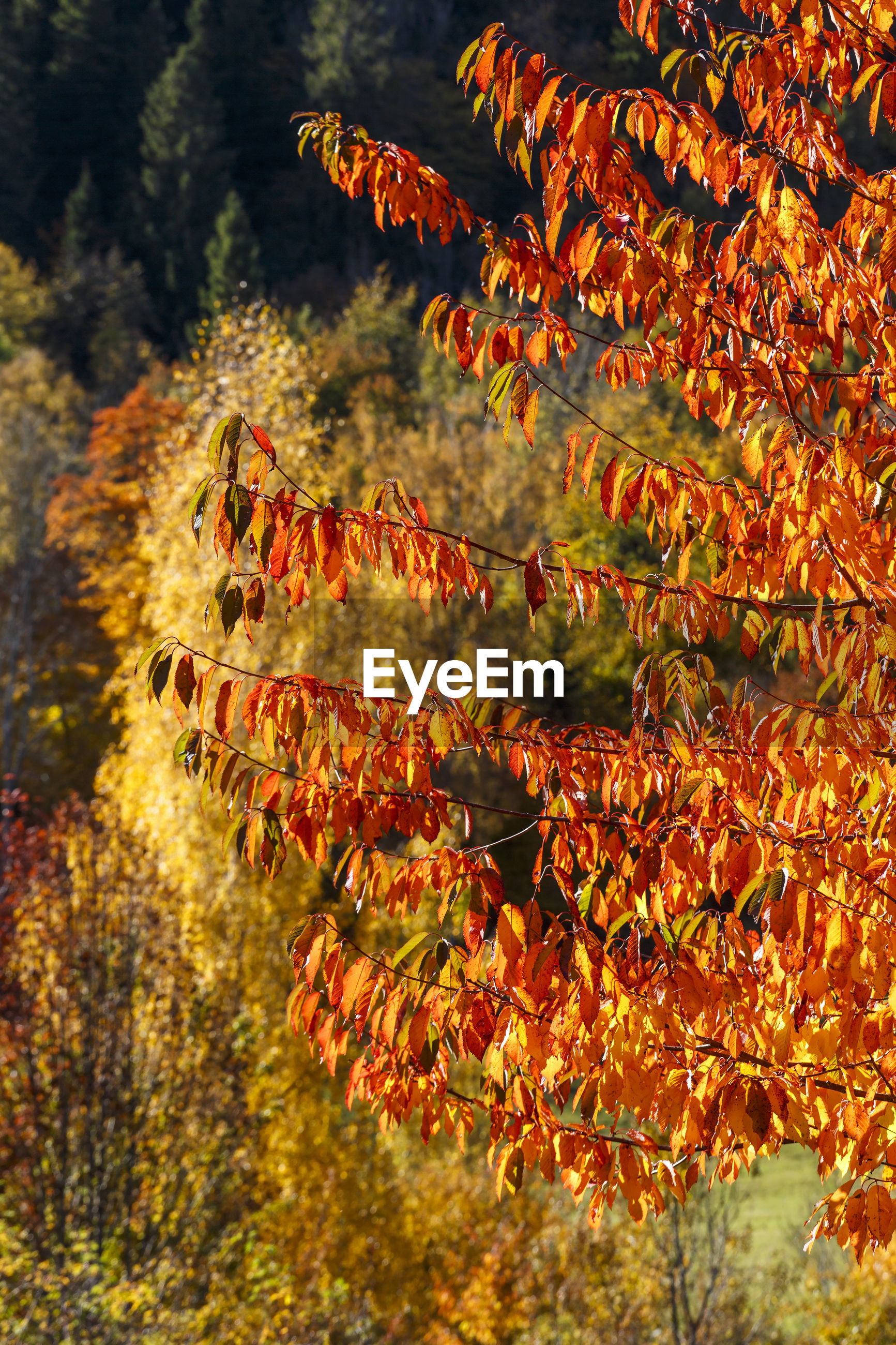 CLOSE-UP OF AUTUMN LEAVES AGAINST TREES