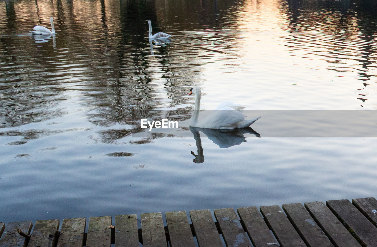 lake, water, bird, animal themes, reflection, vertebrate, animal, animal wildlife, animals in the wild, swimming, nature, no people, water bird, one animal, swan, day, wood - material, high angle view, outdoors, floating on water