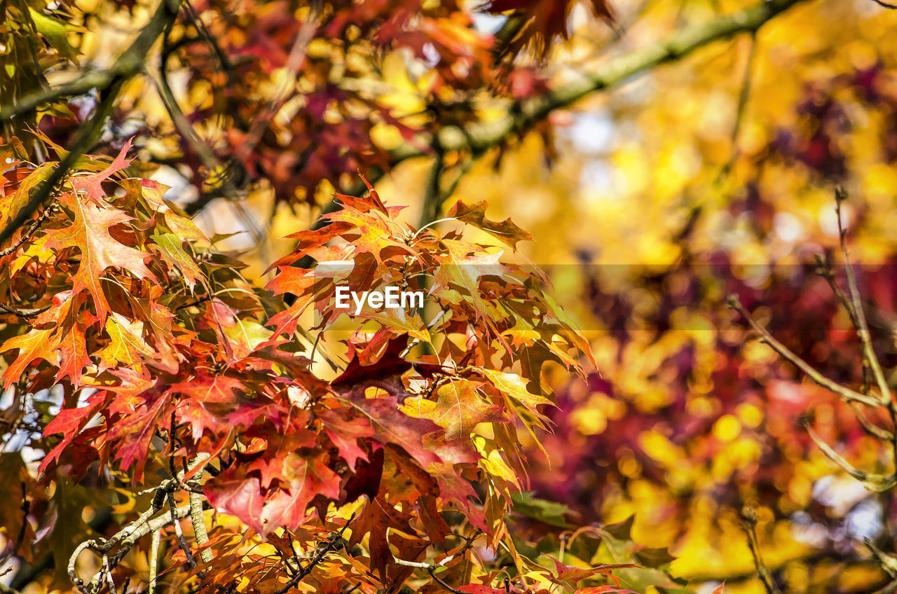 autumn, change, plant part, leaf, plant, beauty in nature, tree, focus on foreground, close-up, growth, maple leaf, yellow, nature, day, branch, no people, orange color, maple tree, outdoors, leaves, natural condition, autumn collection