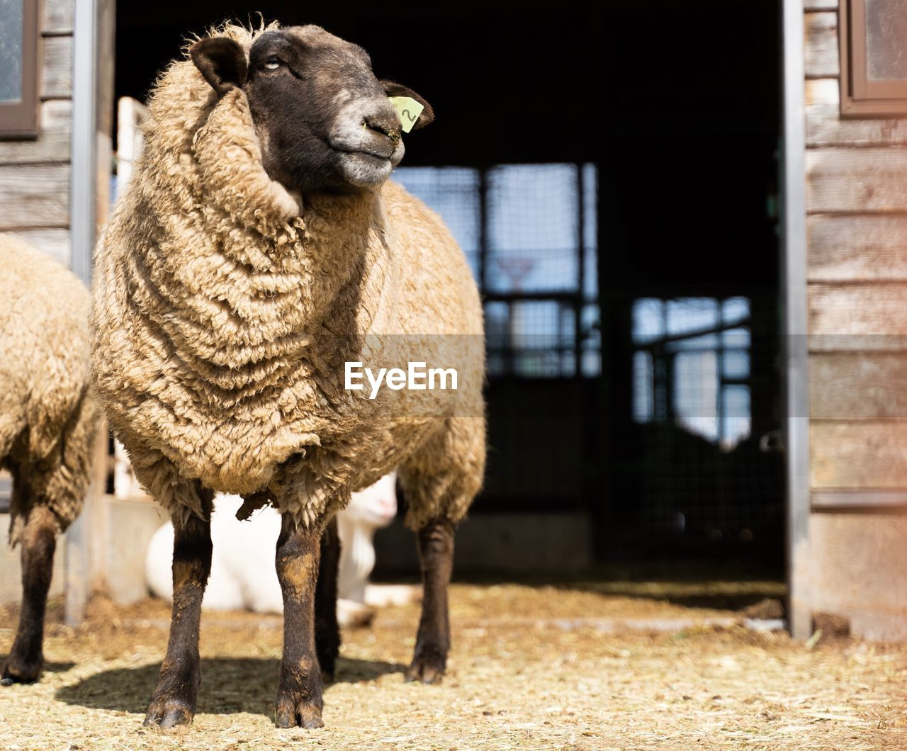 animal themes, mammal, animal, domestic animals, pets, livestock, vertebrate, domestic, one animal, sheep, day, standing, focus on foreground, architecture, no people, animal wildlife, building exterior, outdoors, built structure, nature, herbivorous