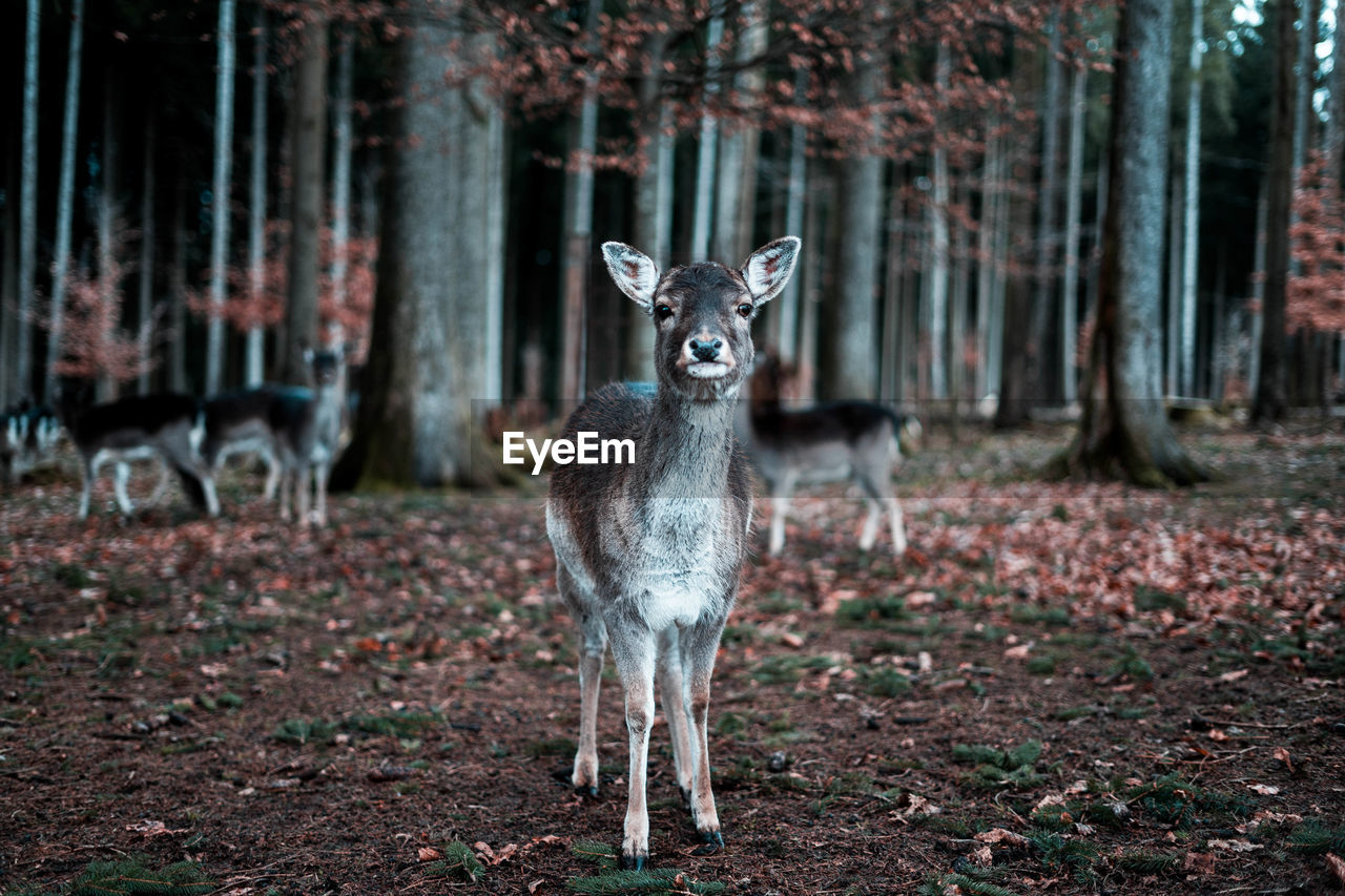 Portrait Of Deer In Forest