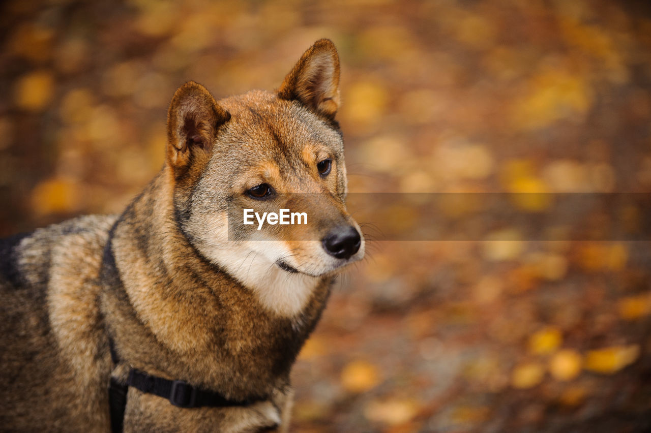 one animal, animal themes, mammal, animal, focus on foreground, dog, canine, looking away, autumn, looking, day, no people, pets, nature, domestic animals, animals in the wild, vertebrate, animal wildlife, close-up, domestic, outdoors, change, animal head