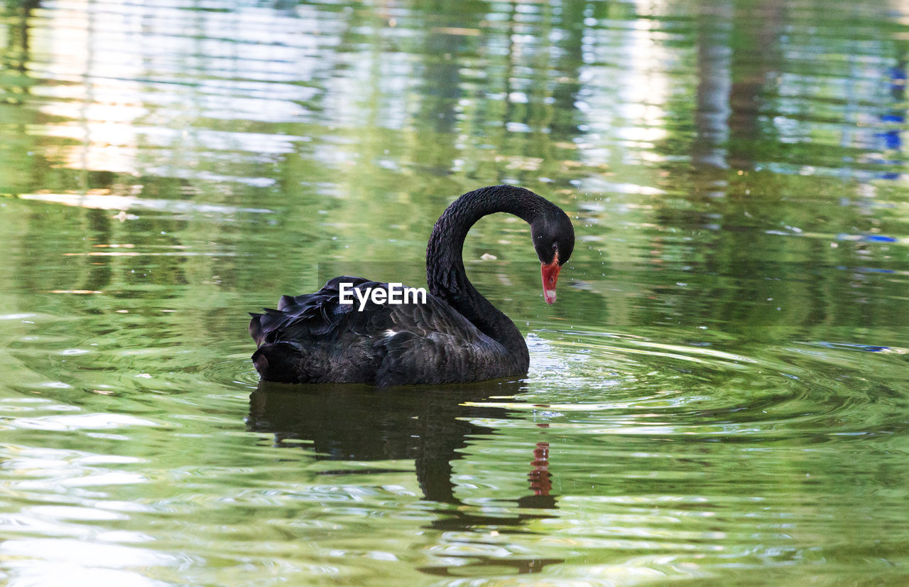 water, animal themes, animal, animal wildlife, lake, animals in the wild, one animal, vertebrate, bird, black swan, black color, swimming, swan, day, nature, reflection, waterfront, no people, outdoors, animal neck