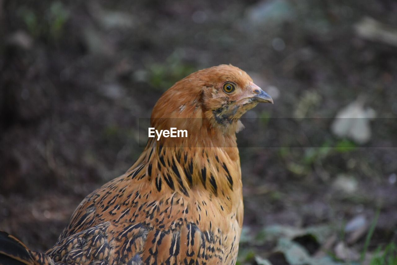 animal themes, one animal, bird, animal, vertebrate, focus on foreground, close-up, animal wildlife, animals in the wild, day, no people, nature, land, field, looking away, brown, outdoors, looking, beak, side view, profile view, animal eye