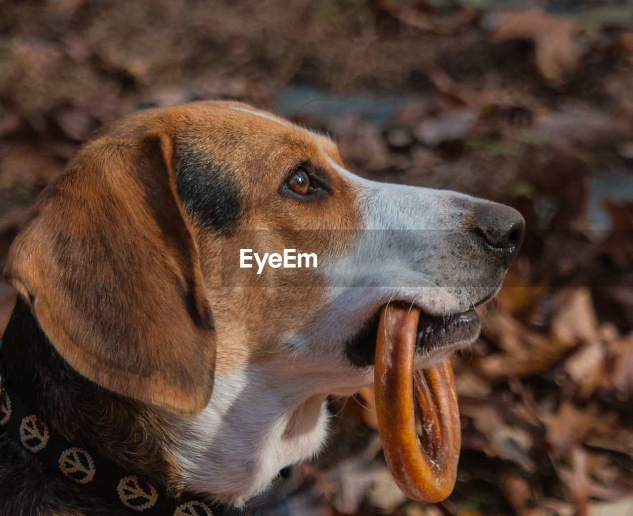 dog, canine, one animal, mammal, animal themes, animal, domestic, domestic animals, pets, looking, looking away, close-up, animal body part, focus on foreground, no people, brown, animal head, vertebrate, day, field, mouth open, profile view, animal mouth, snout