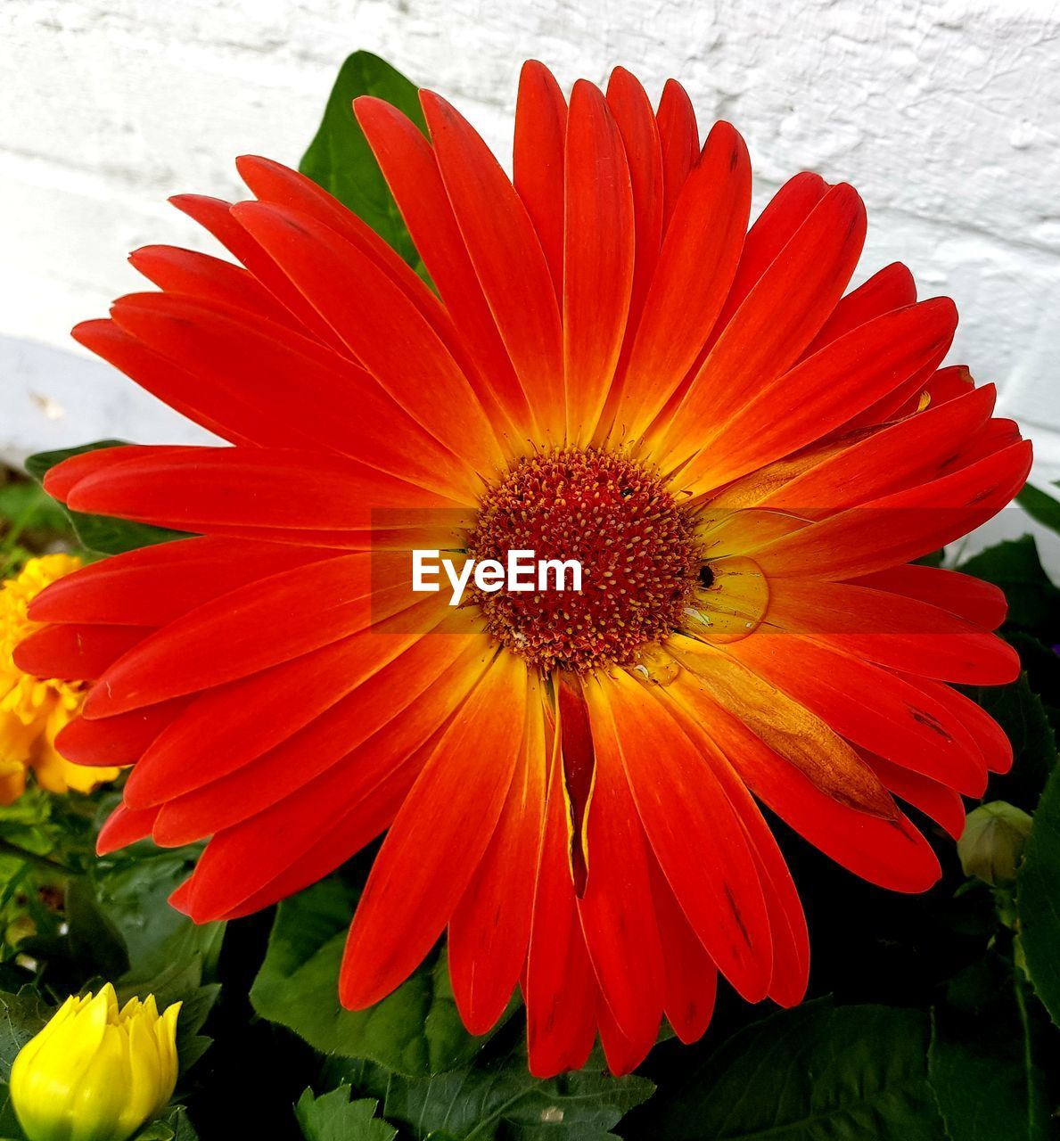 flower, flowering plant, petal, vulnerability, fragility, flower head, beauty in nature, freshness, inflorescence, plant, close-up, orange color, growth, nature, no people, pollen, red, focus on foreground, outdoors, day, gazania, orange