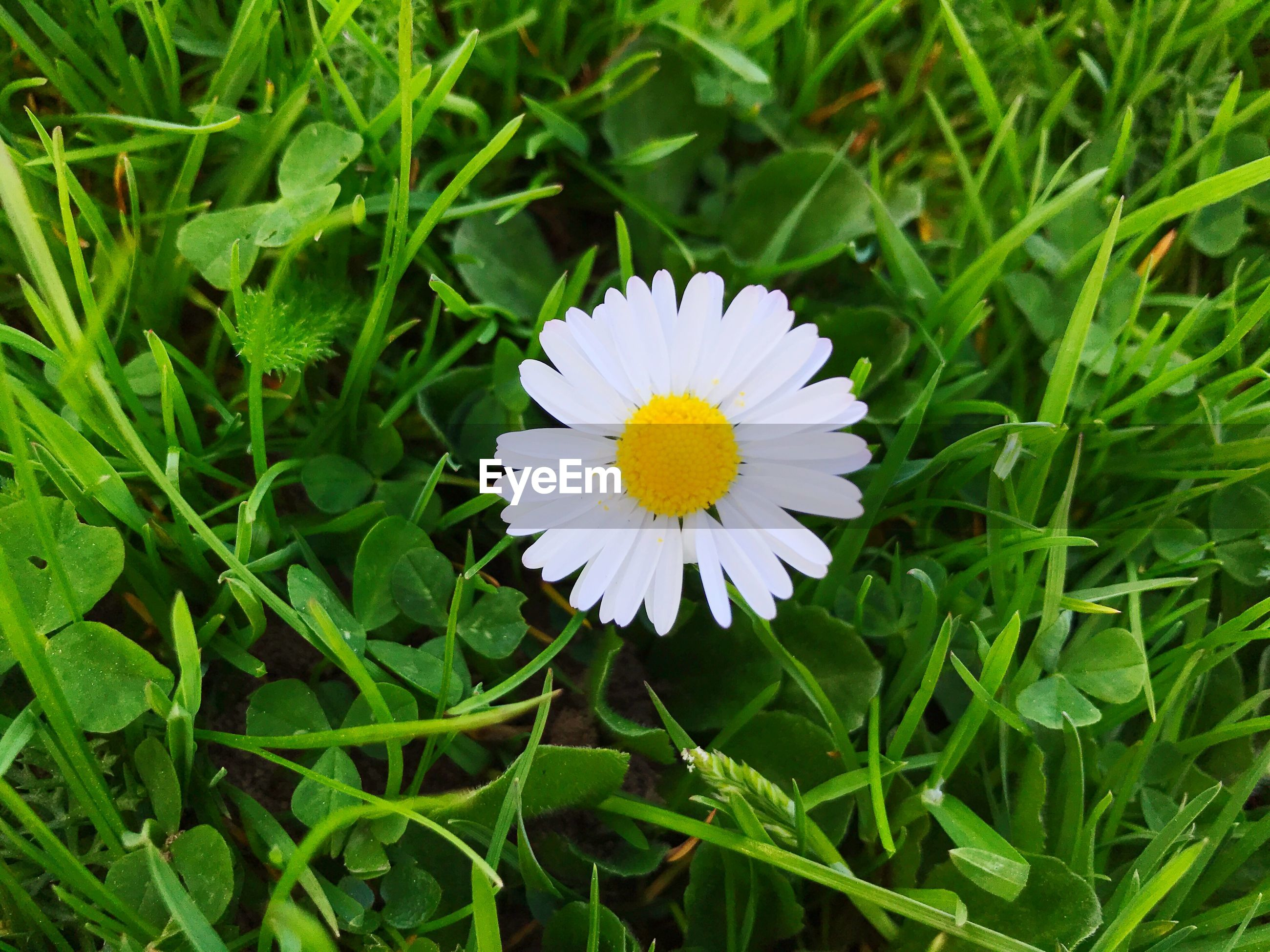 CLOSE-UP OF DAISY ON FIELD