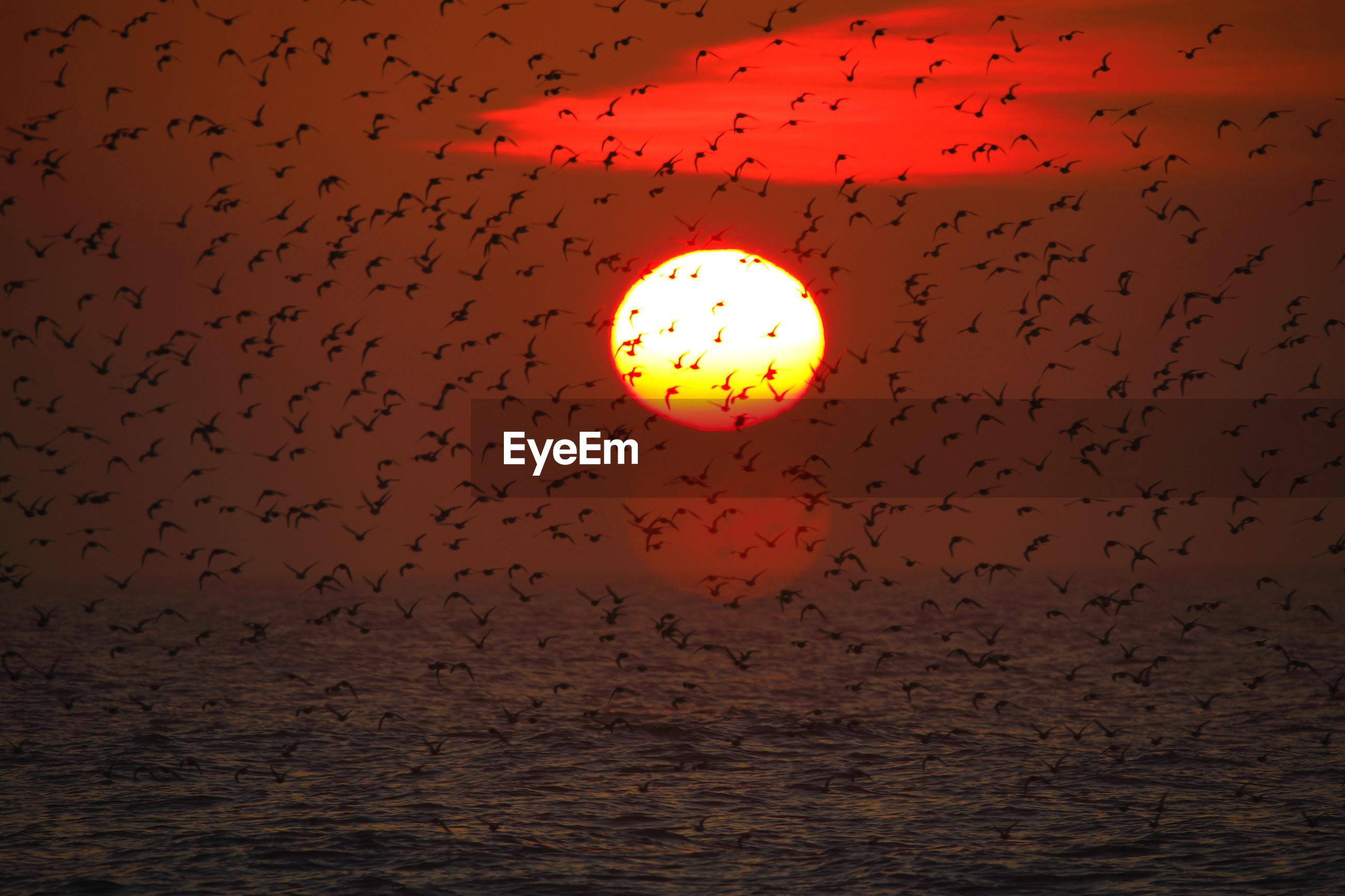 Flock of birds flying against orange sky