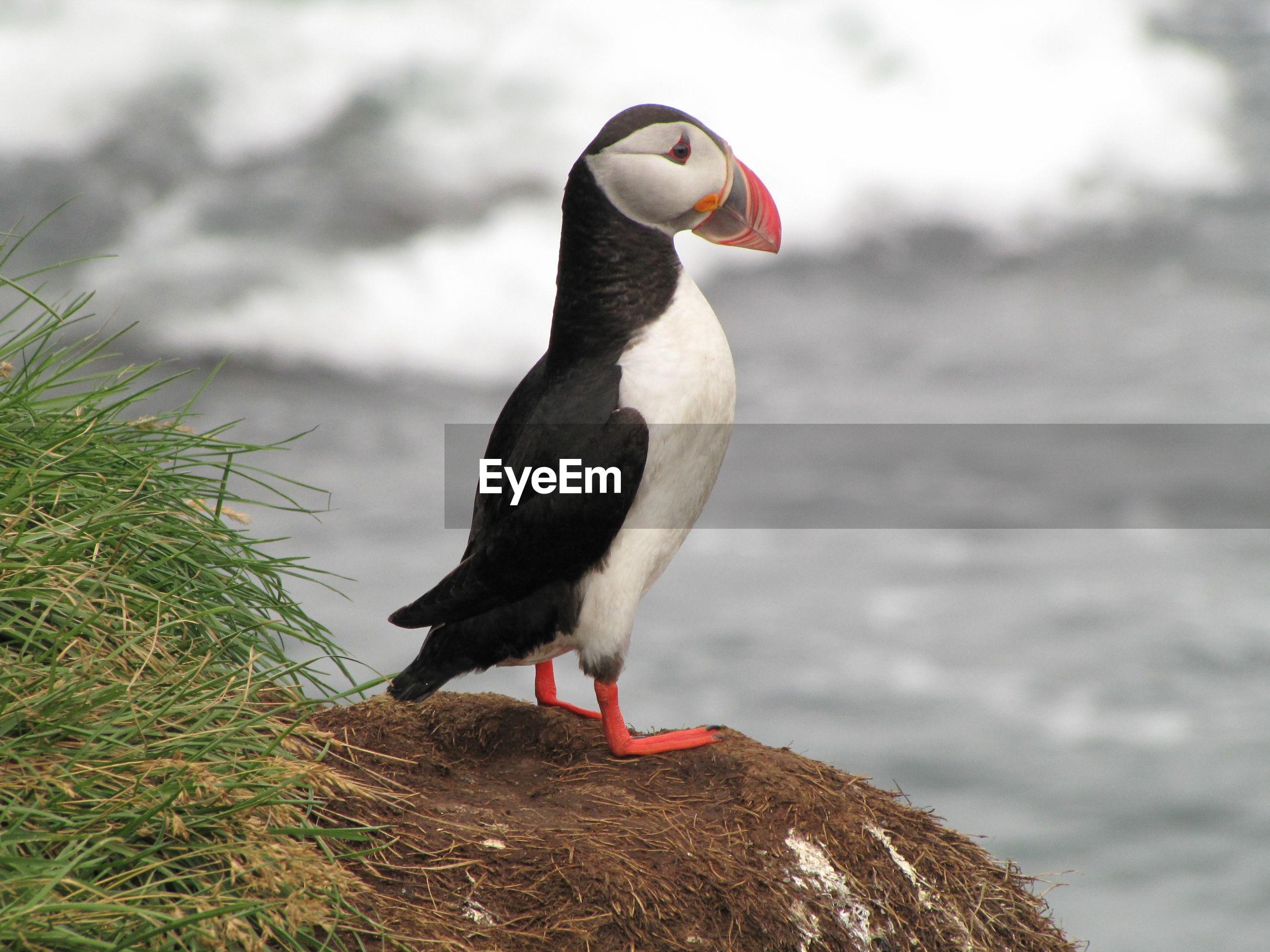 Puffin vogelkolonie
