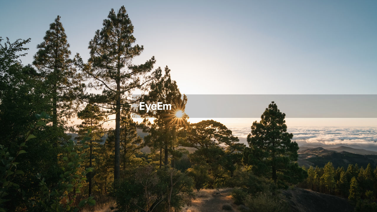 Sunset on the summit of gran canaria with the sun's rays between the branches of the pines