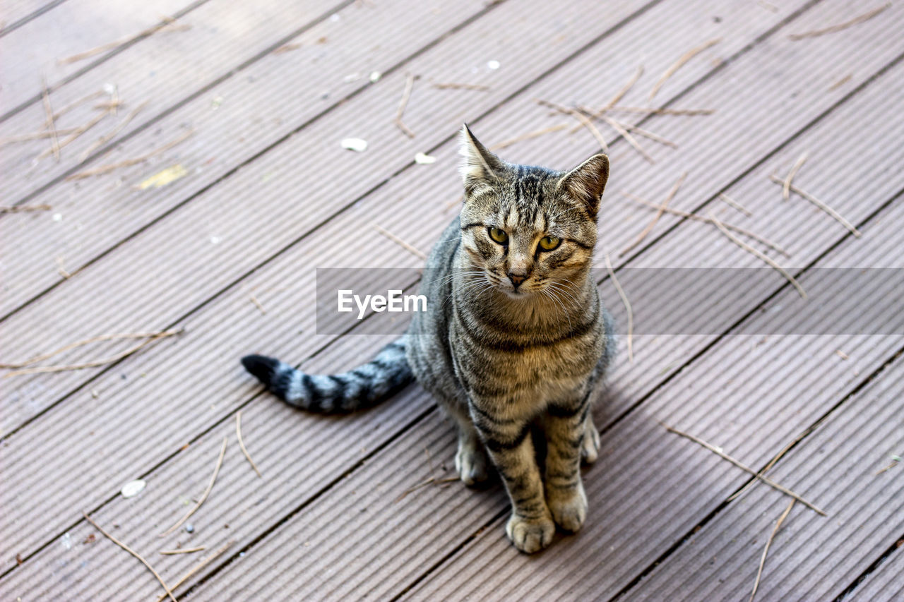 cat, feline, mammal, one animal, pets, domestic cat, domestic animals, domestic, wood - material, vertebrate, no people, looking at camera, full length, high angle view, portrait, day, relaxation, tabby, whisker